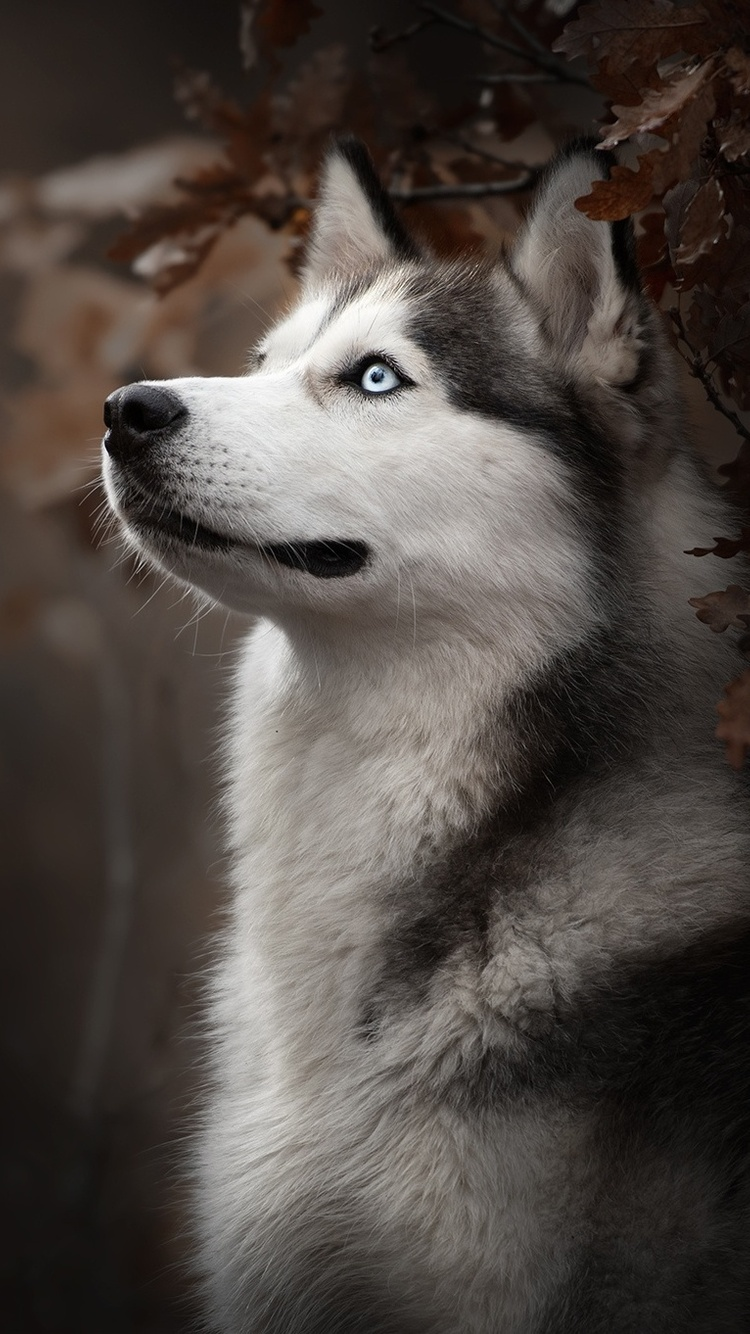 750x1334 Siberian Husky Dog Breed Iphone 6 Iphone 6s Iphone 7 Hd 4k Wallpapers Images Backgrounds Photos And Pictures