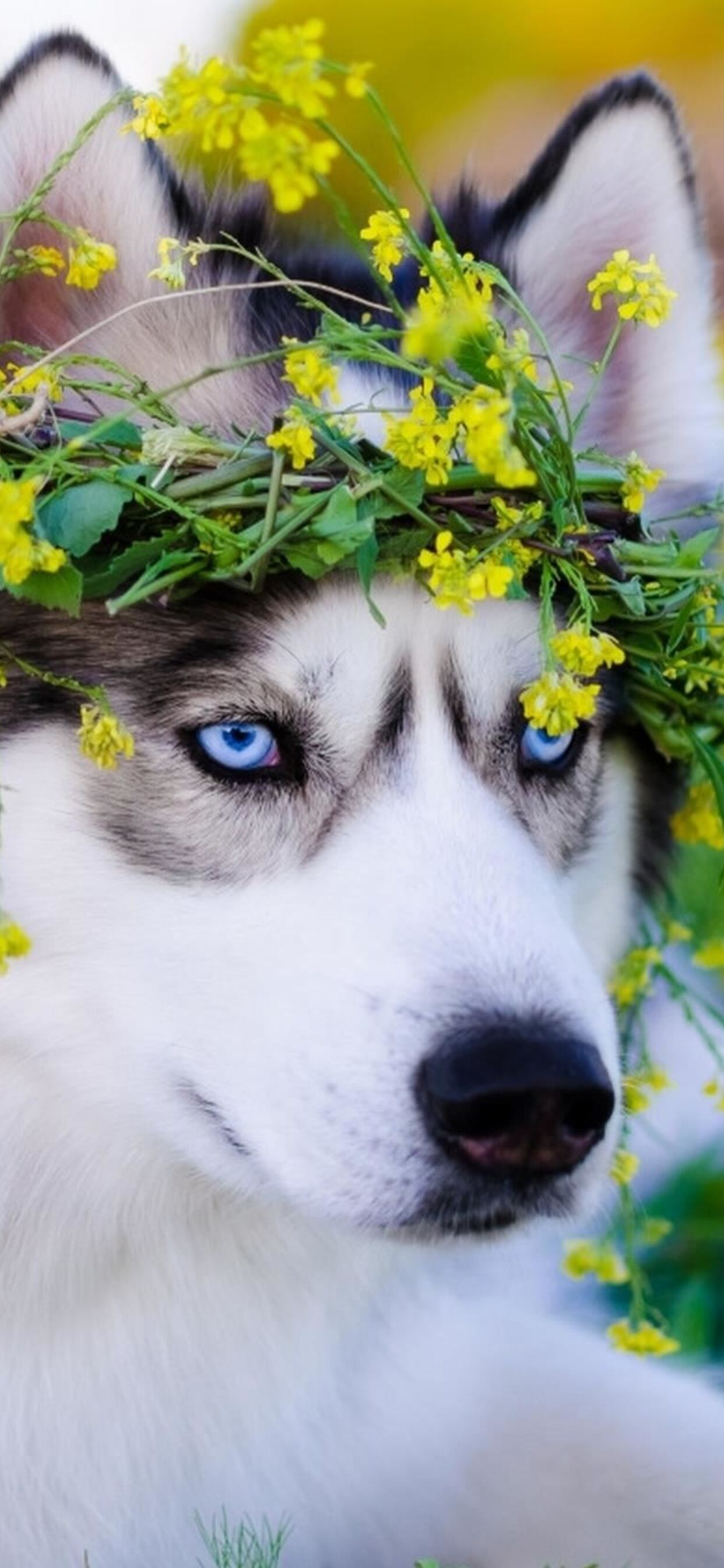 1242x2688 Siberian Husky Dog Iphone Xs Max Hd 4k Wallpapers Images