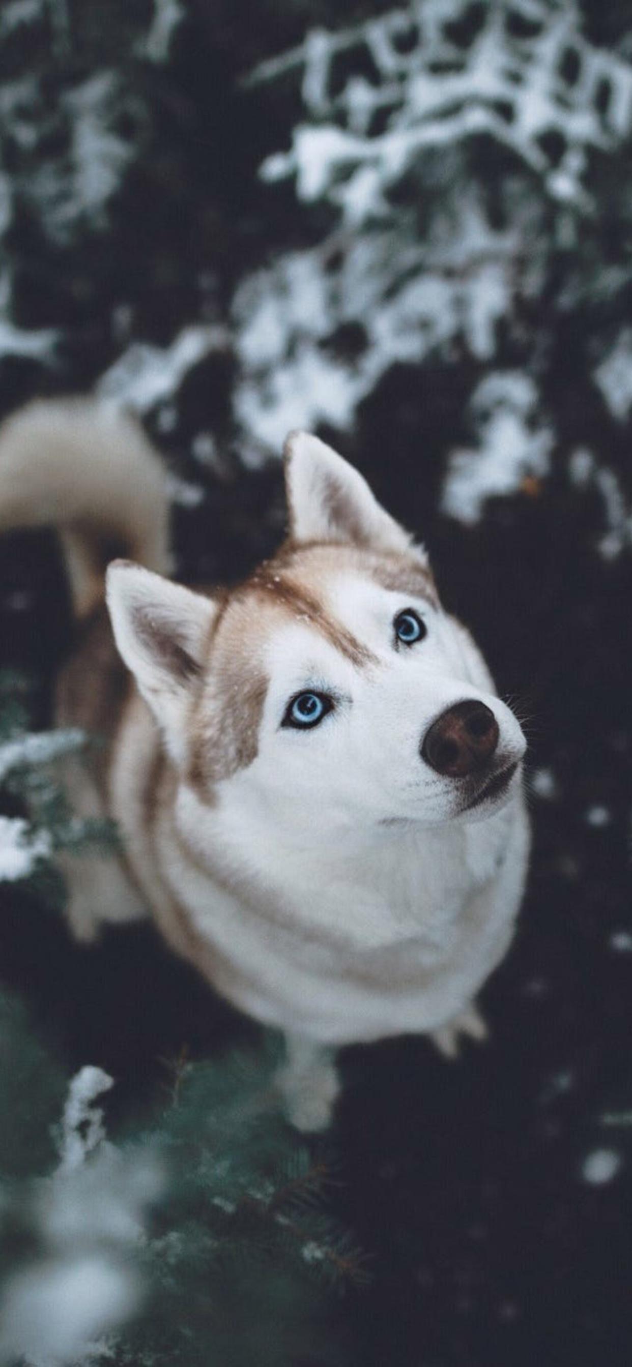 1242x2688 Siberian Husky Hd Iphone Xs Max Hd 4k Wallpapers Images
