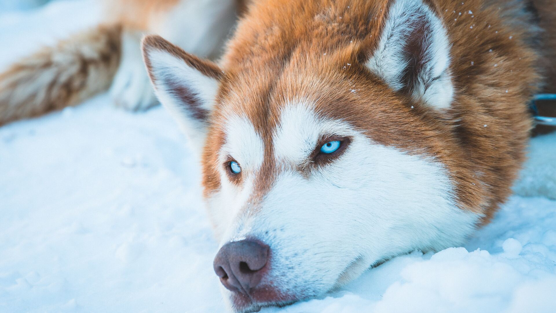 1920x1080 Siberian Husky In Snow Laptop Full HD 1080P HD