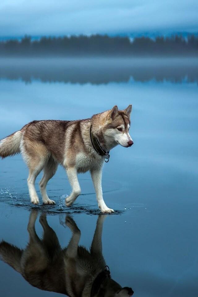 640x960 Siberian Husky Iphone 4 Iphone 4s Hd 4k Wallpapers Images