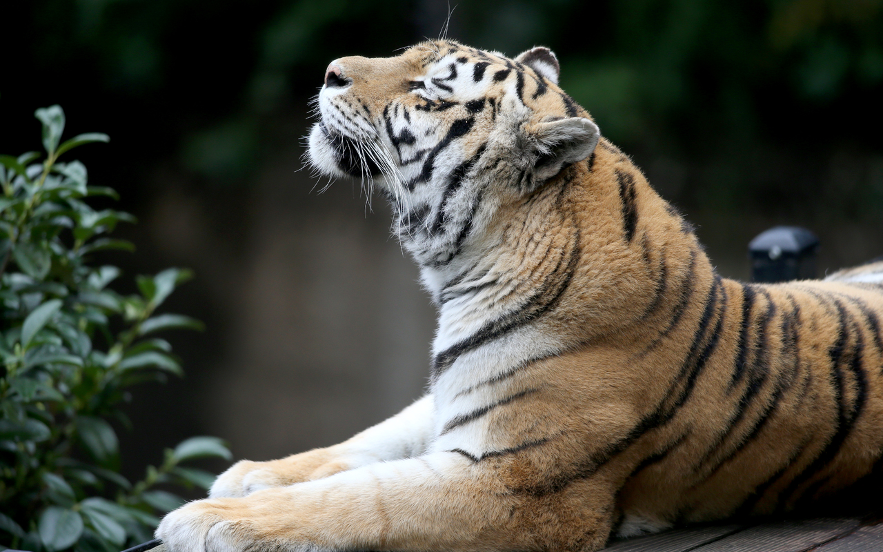 siberian-tiger-5k-ma.jpg
