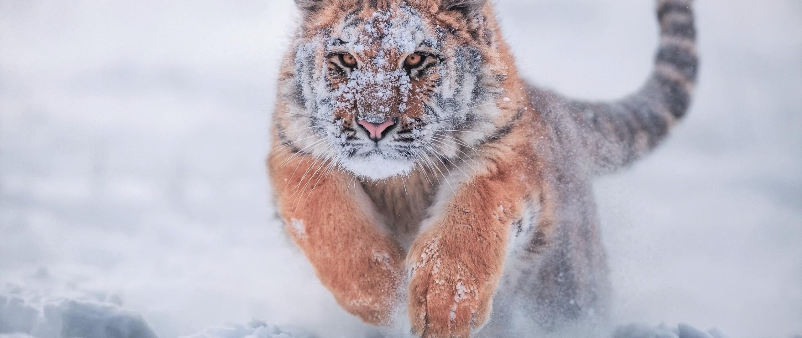 тигр на снегу скачать