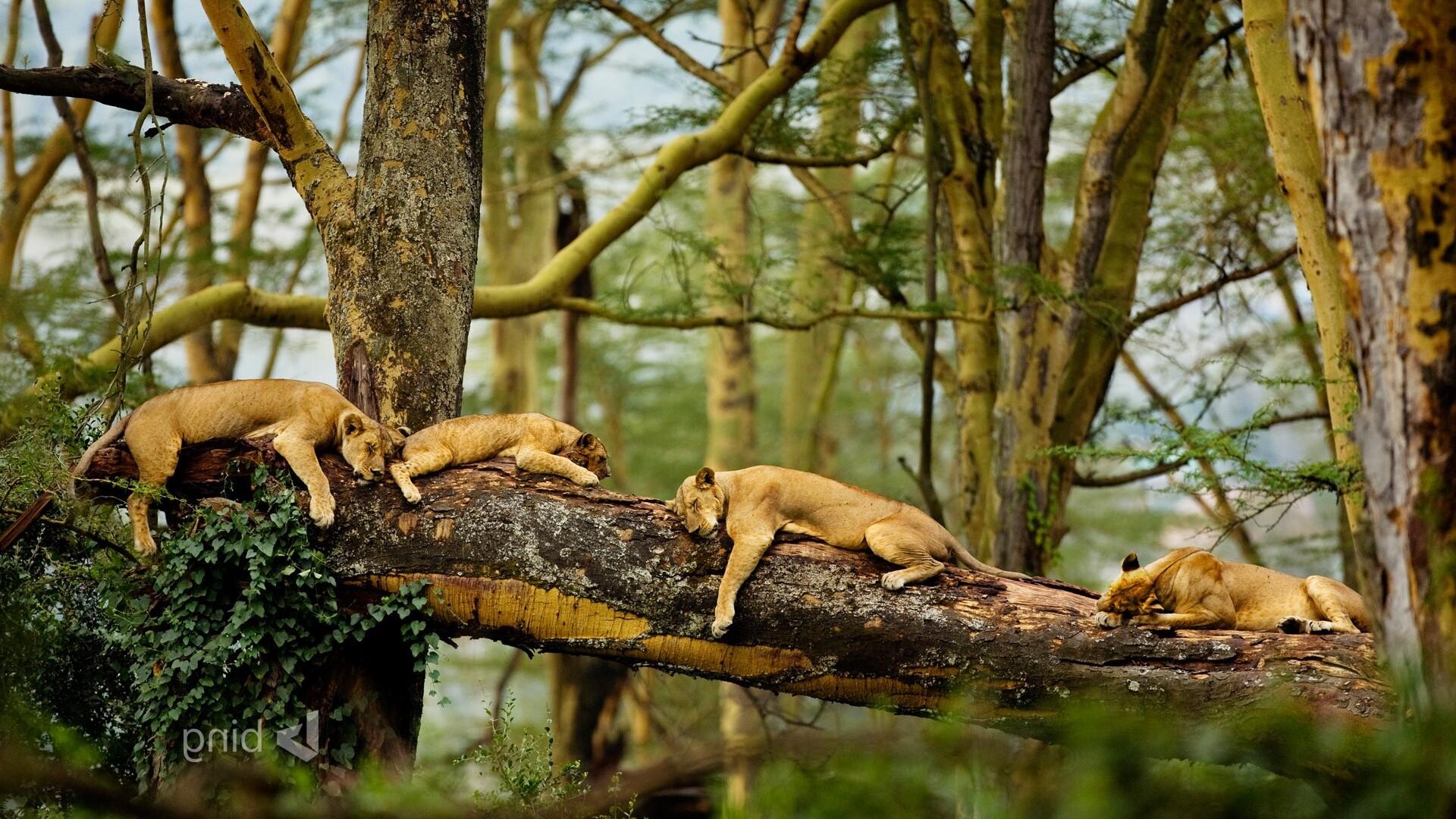 sleeping-lions.jpg