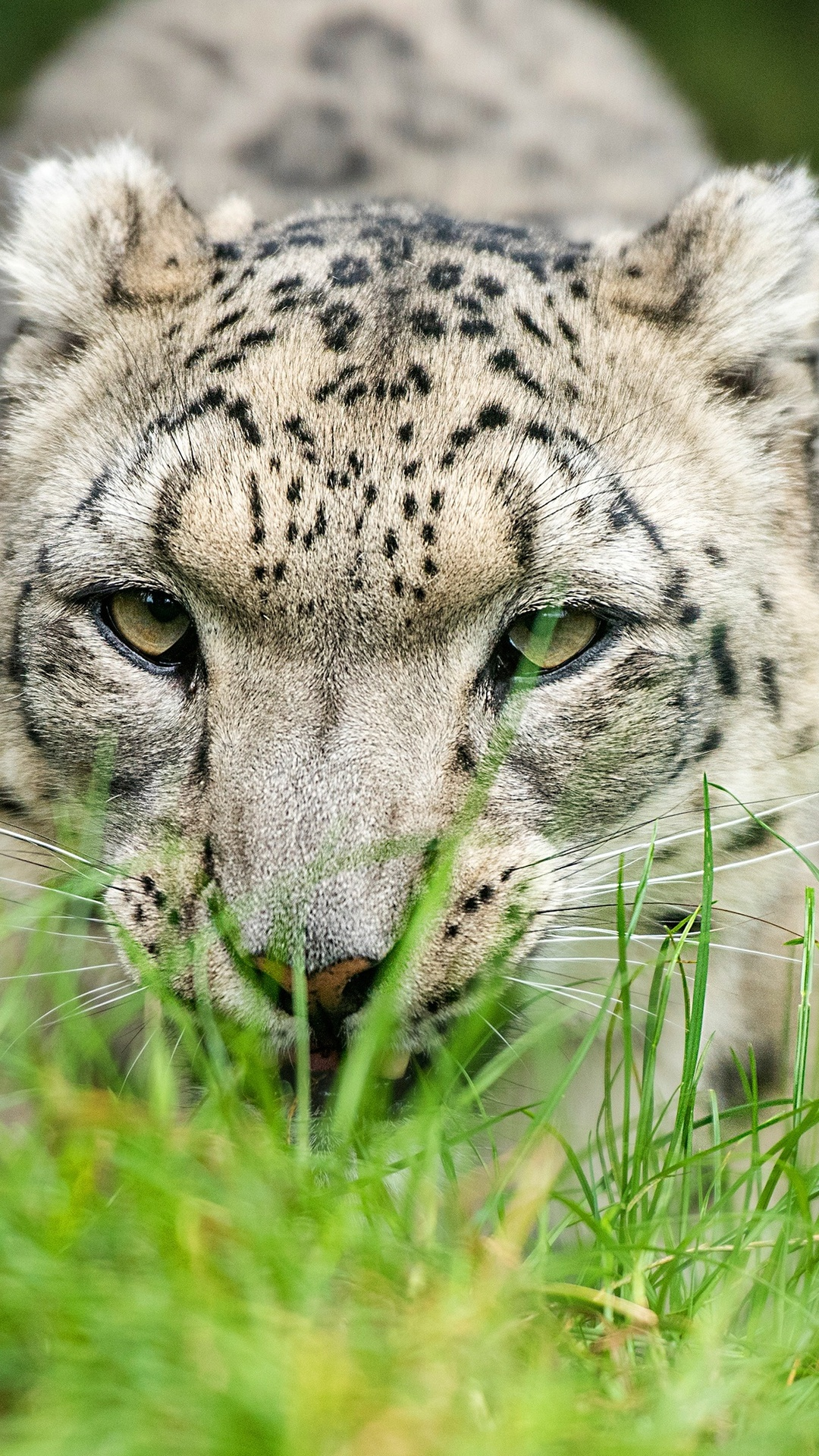 snow-leopard-glance-4k-85.jpg