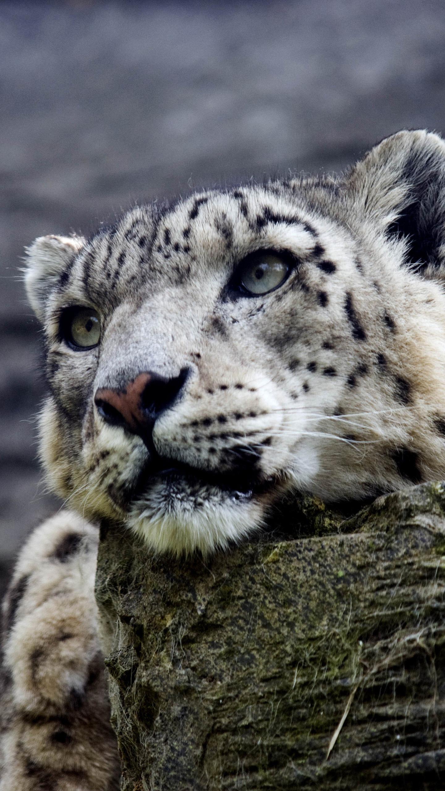 Snow Leopard Trek Ladakh India Snowleopardtrek Snowleopard