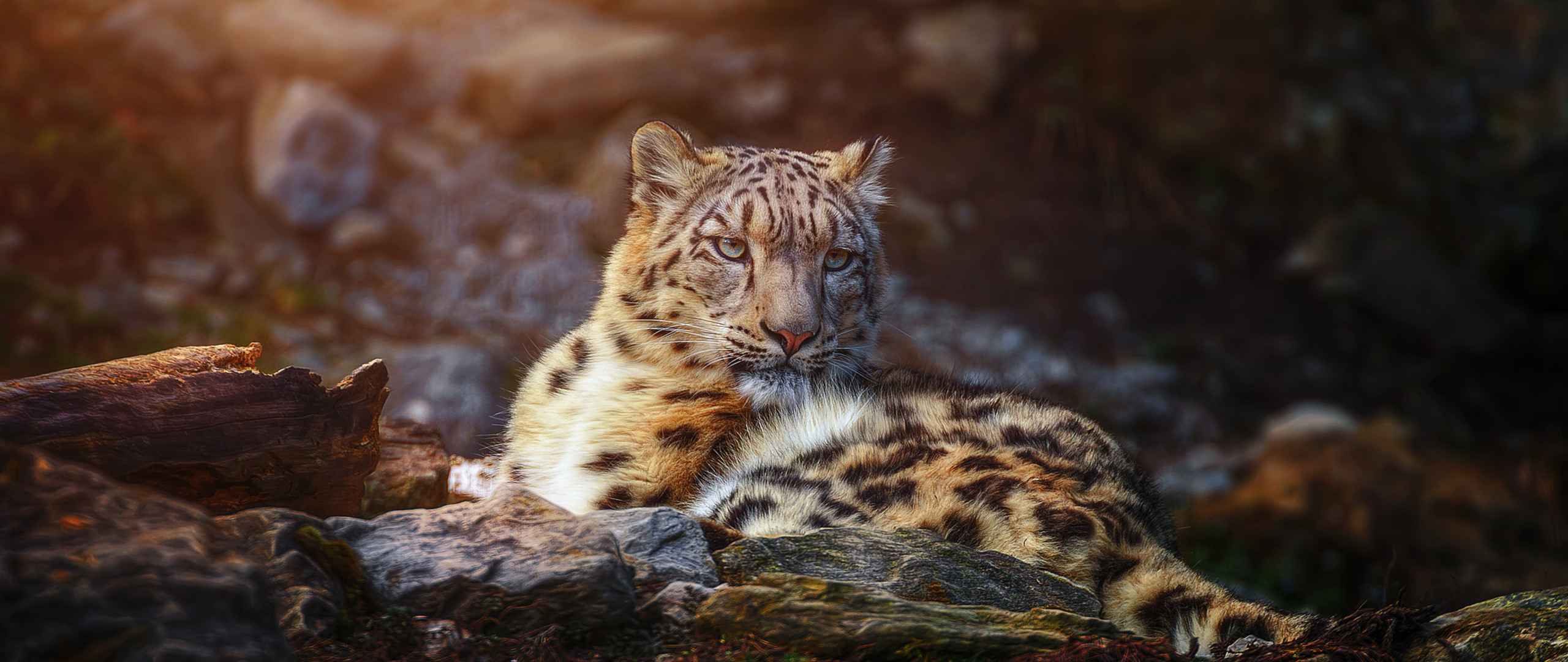snow-leopard-wild-animal-w6.jpg