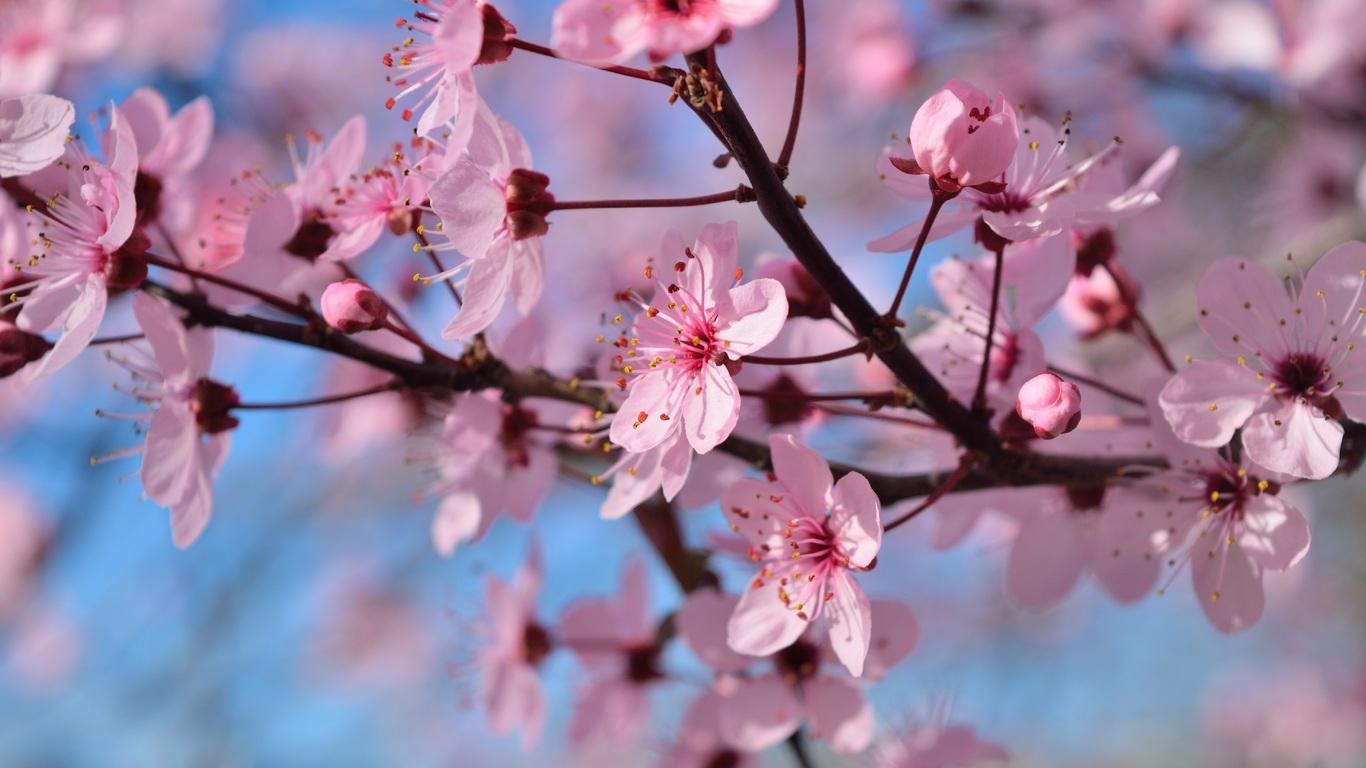 1366x768 Spring Season Flowers 1366x768 Resolution Hd 4k Wallpapers
