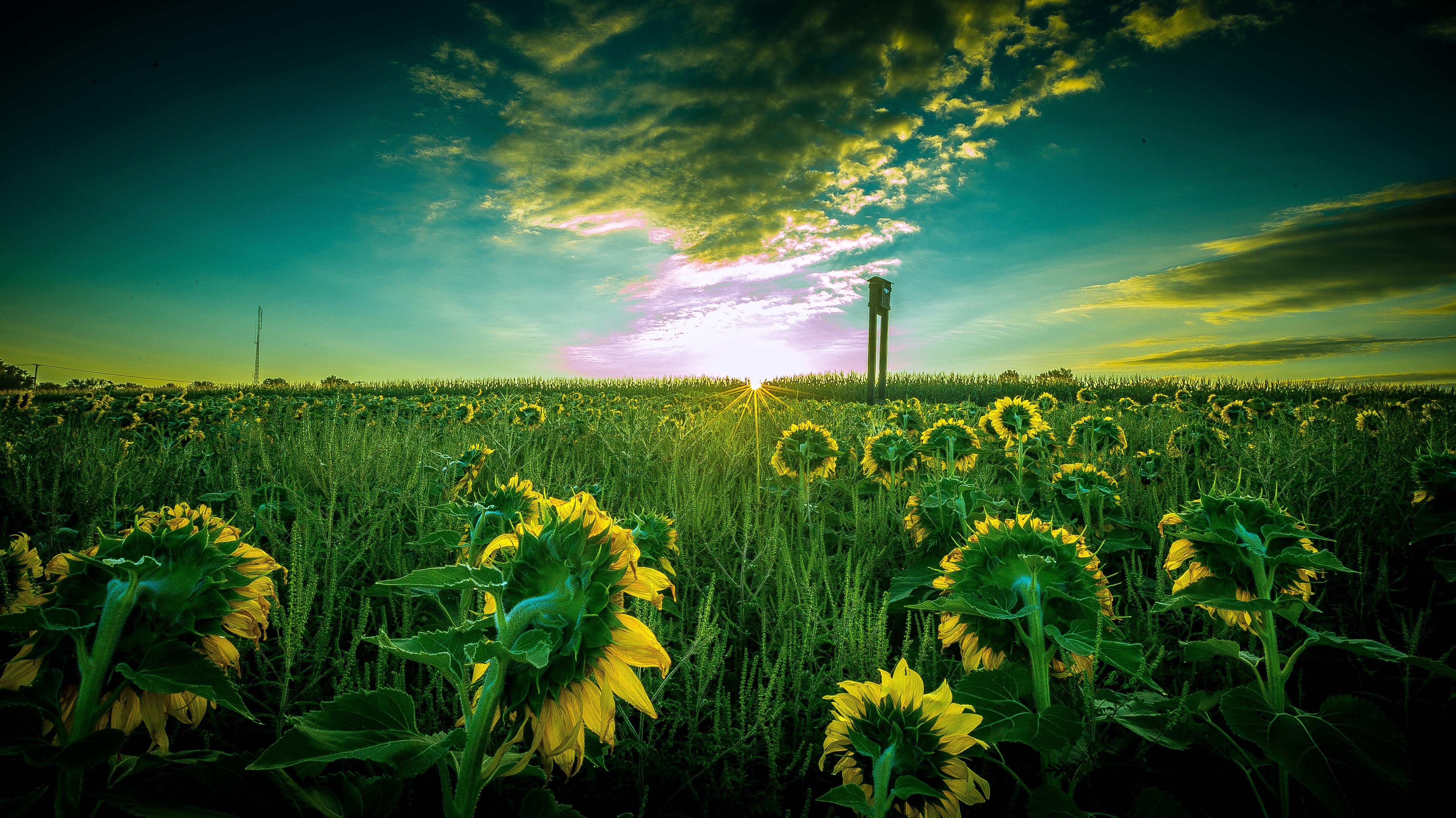 sun-flower-field-5k-90.jpg