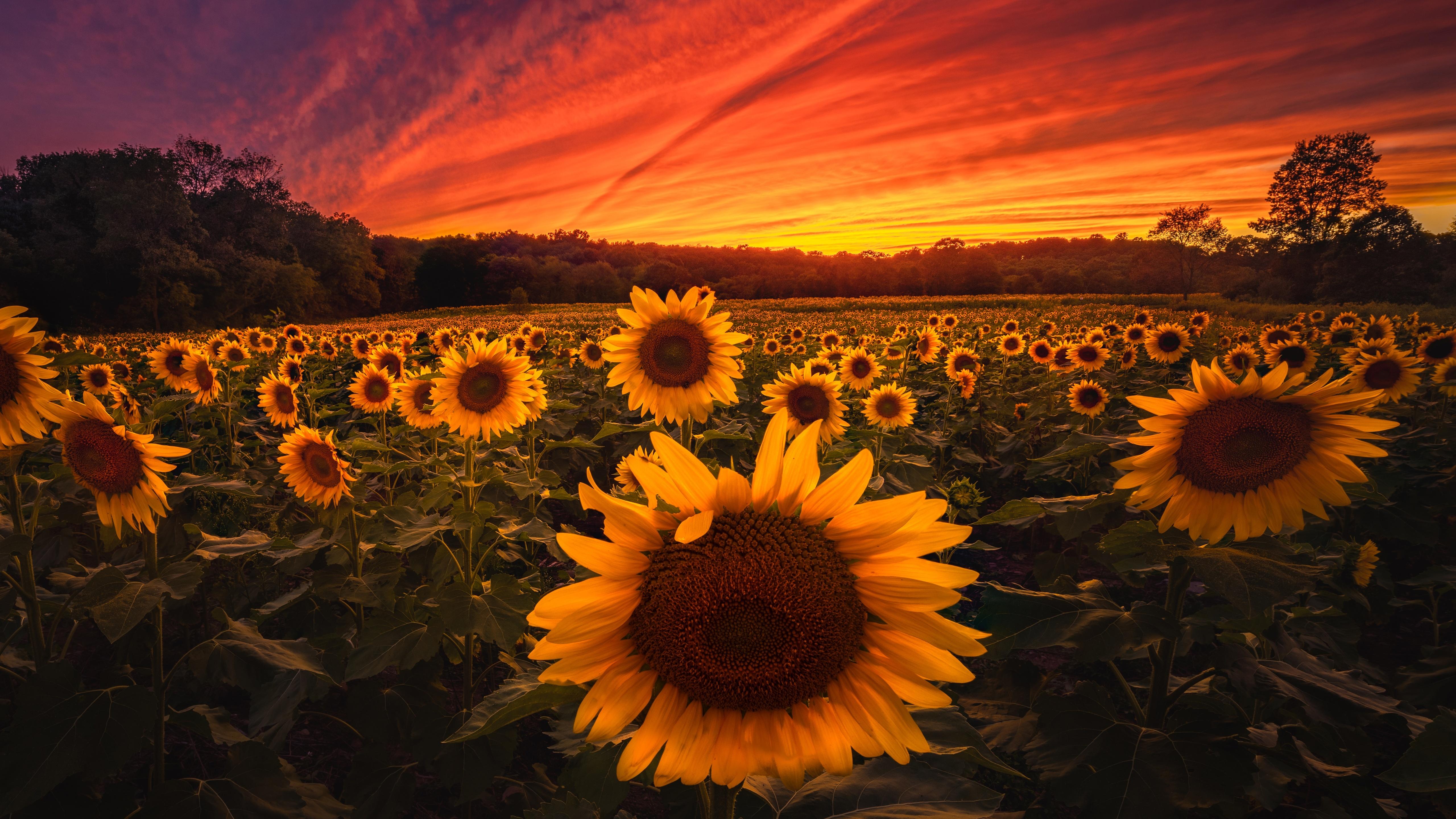 sunflower-field-5k-qs.jpg