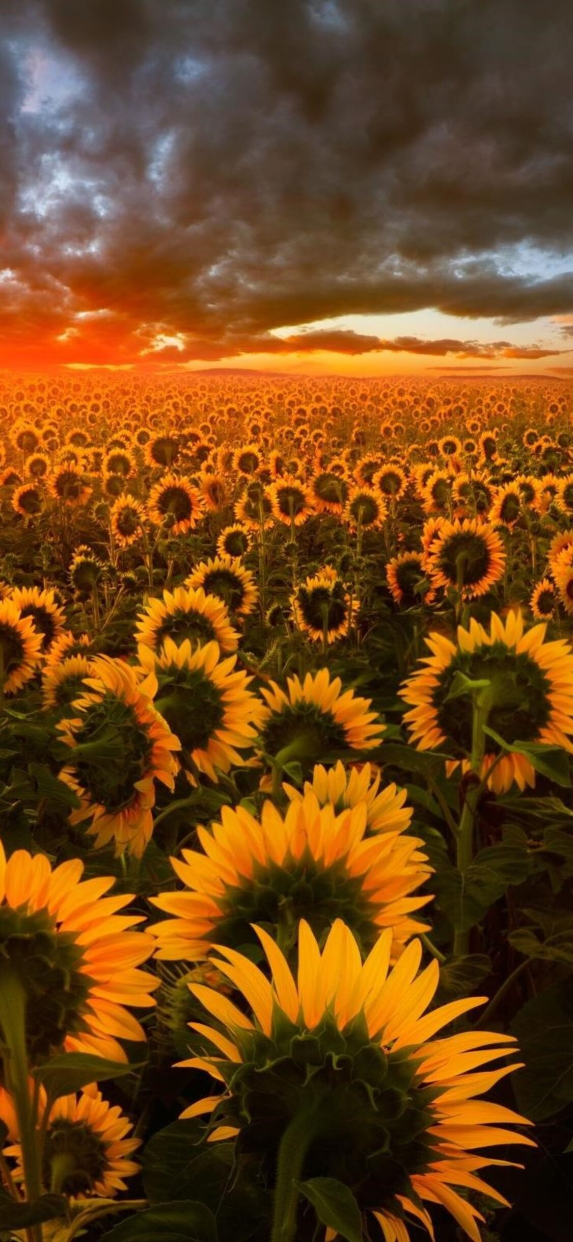 1125x2436 Sunflower Field Iphone XIphone 10 HD 4k Wallpapers