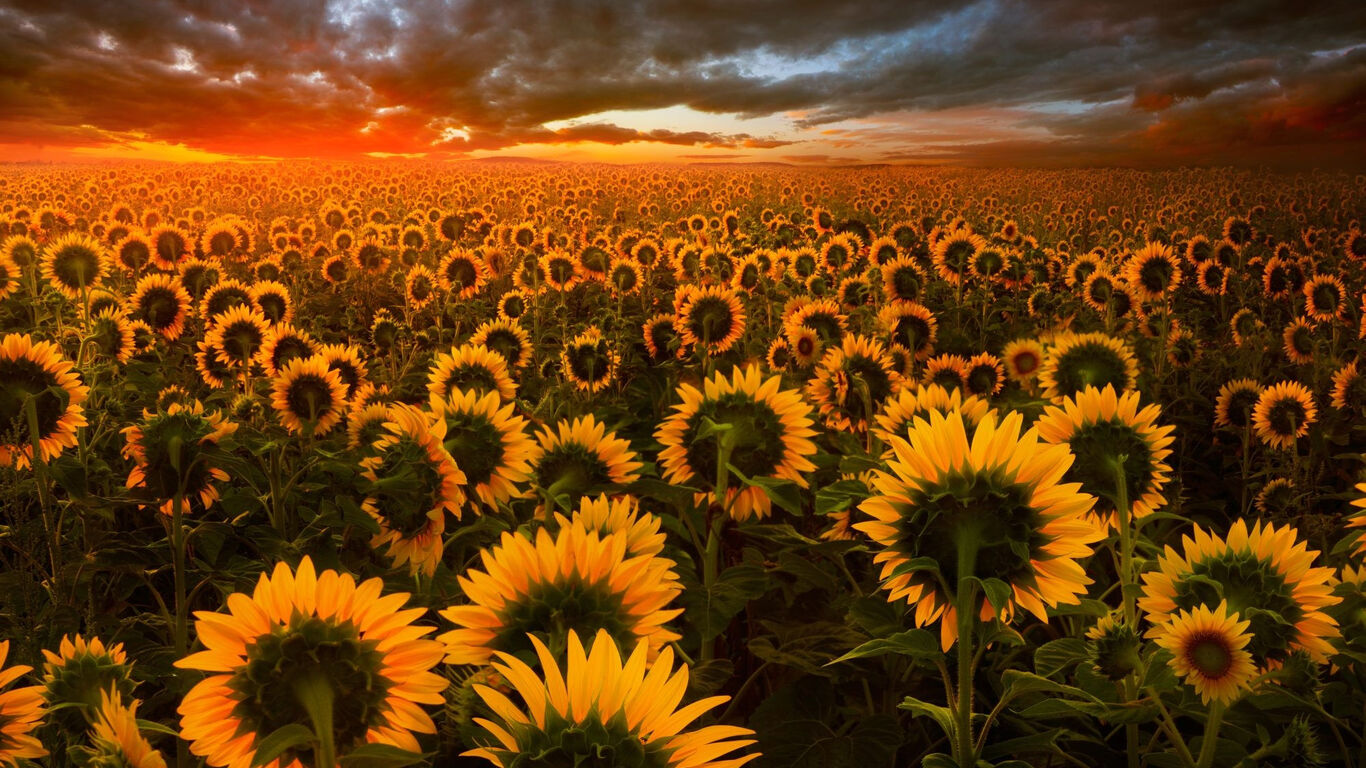 1366x768 Sunflower Field 1366x768 Resolution Hd 4k Wallpapers Images Backgrounds Photos And Pictures