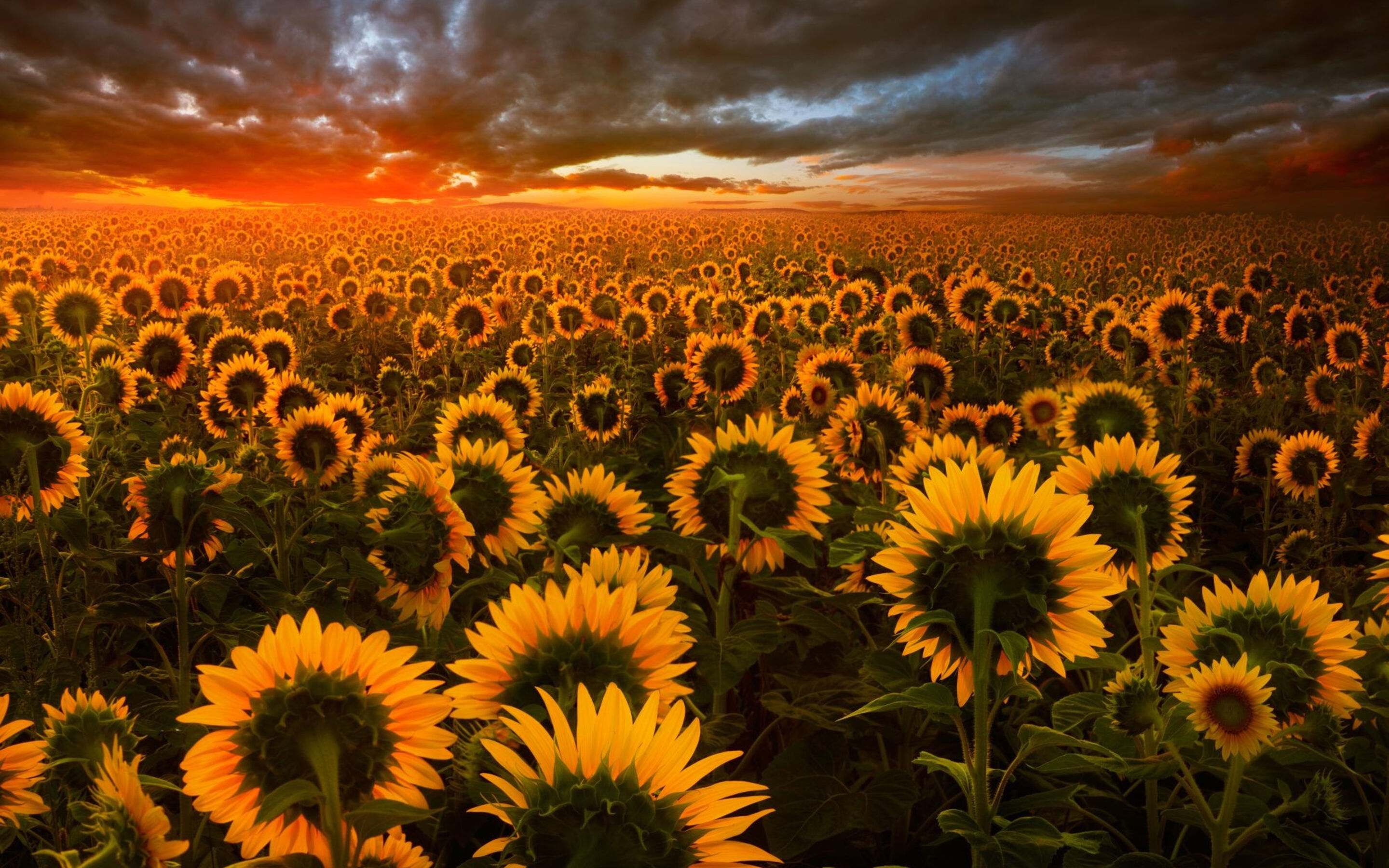 Amazing Wallpaper Macbook Sunflower - sunflower-field-hd-2880x1800  Perfect Image Reference_41774.jpg