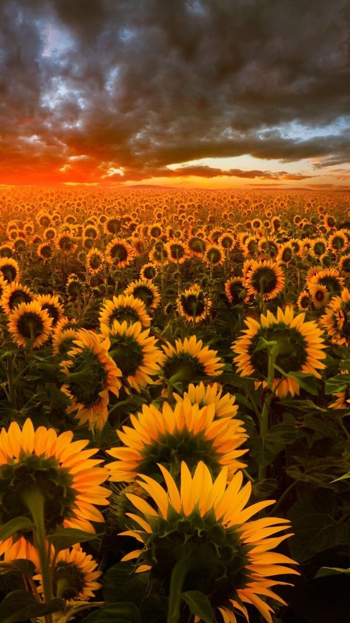sunflower-field-hd.jpg