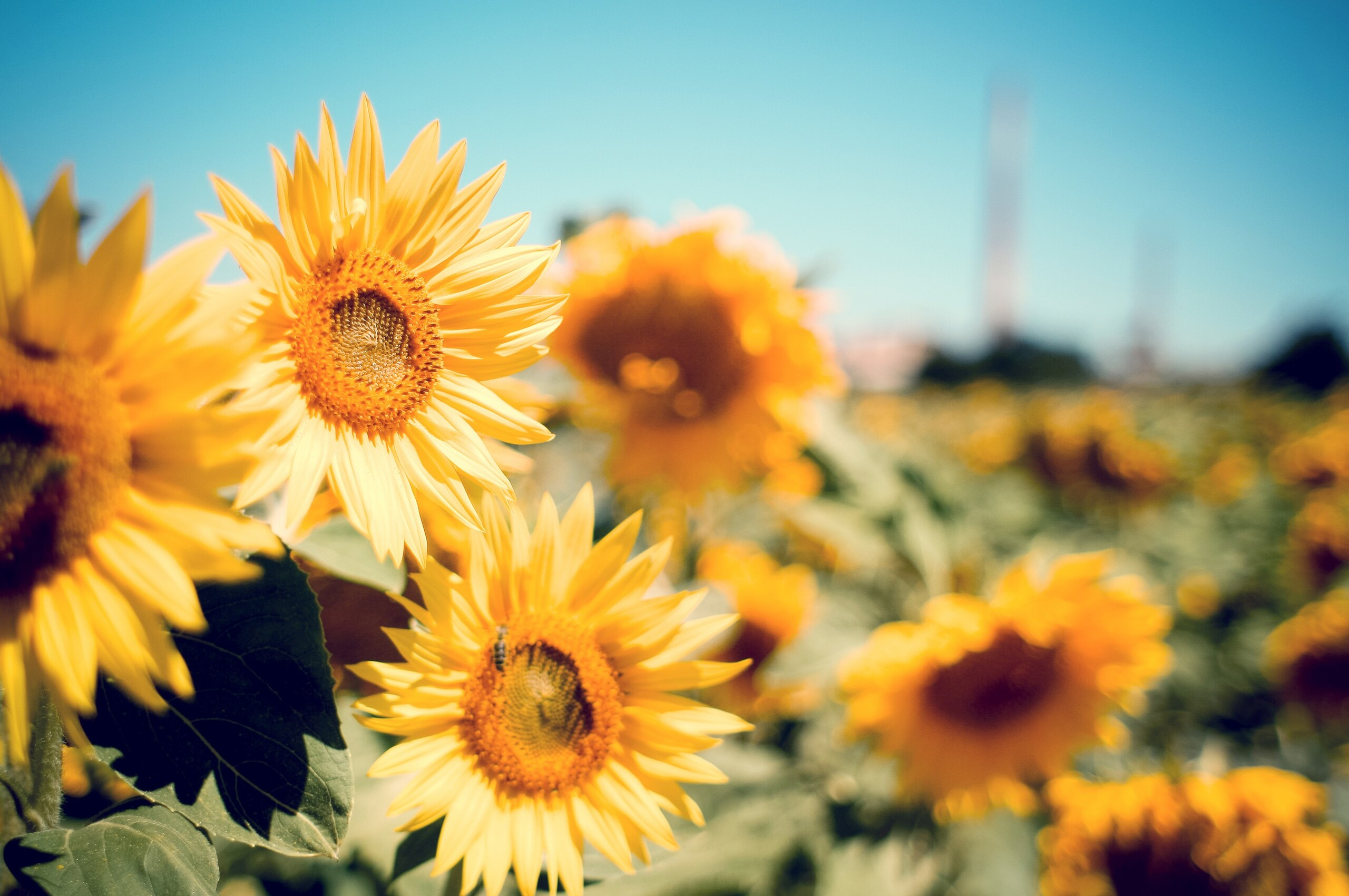 Sunflower Wallpaper Chromebook 3d Android Wallpaper