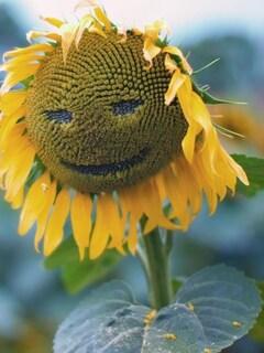 sunflower-smiley-pic.jpg