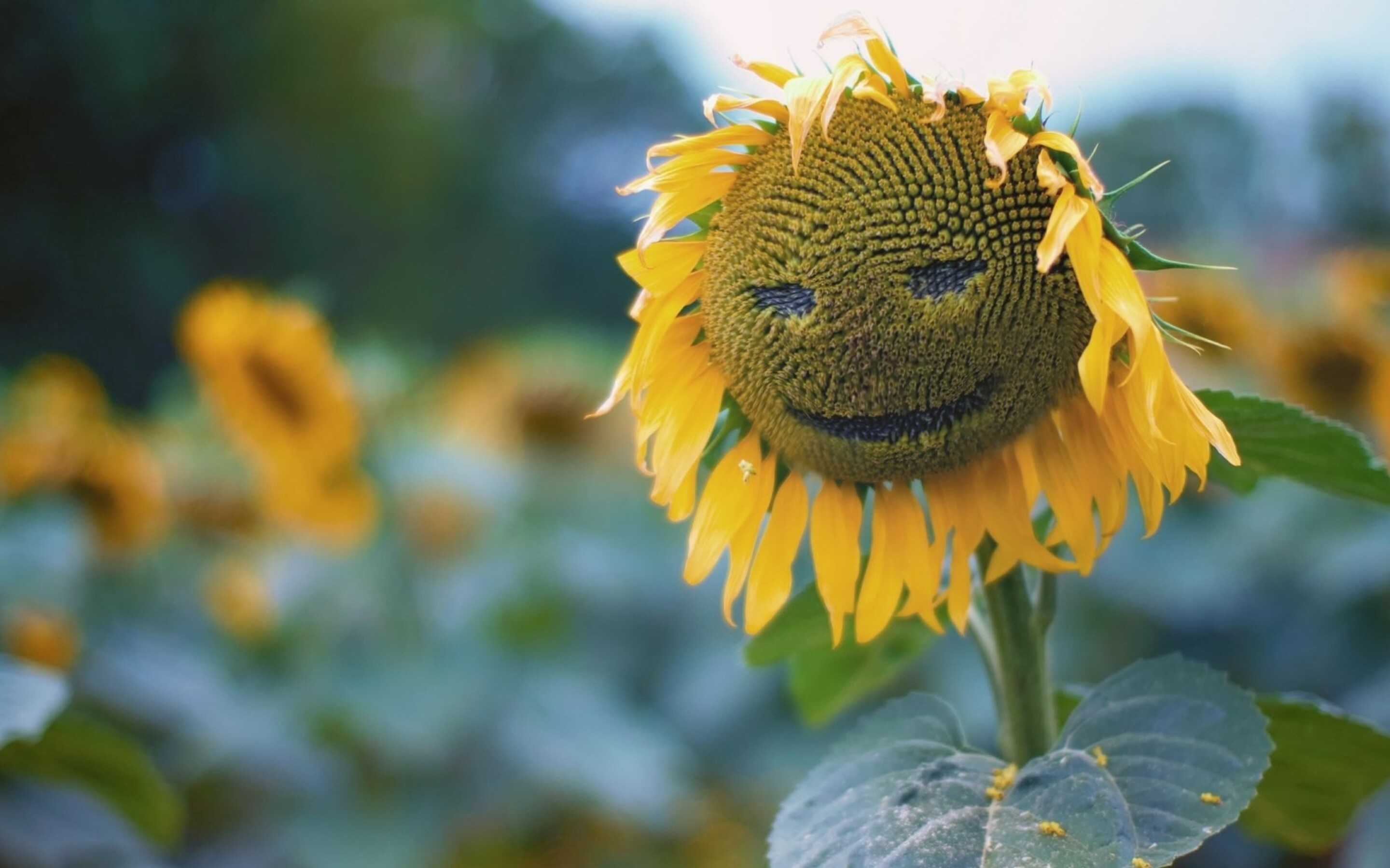 Must see Wallpaper Macbook Sunflower - sunflower-smiley-pic-2880x1800  Trends_257639.jpg