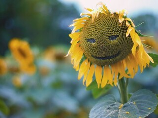 sunflower-smiley-pic.jpg