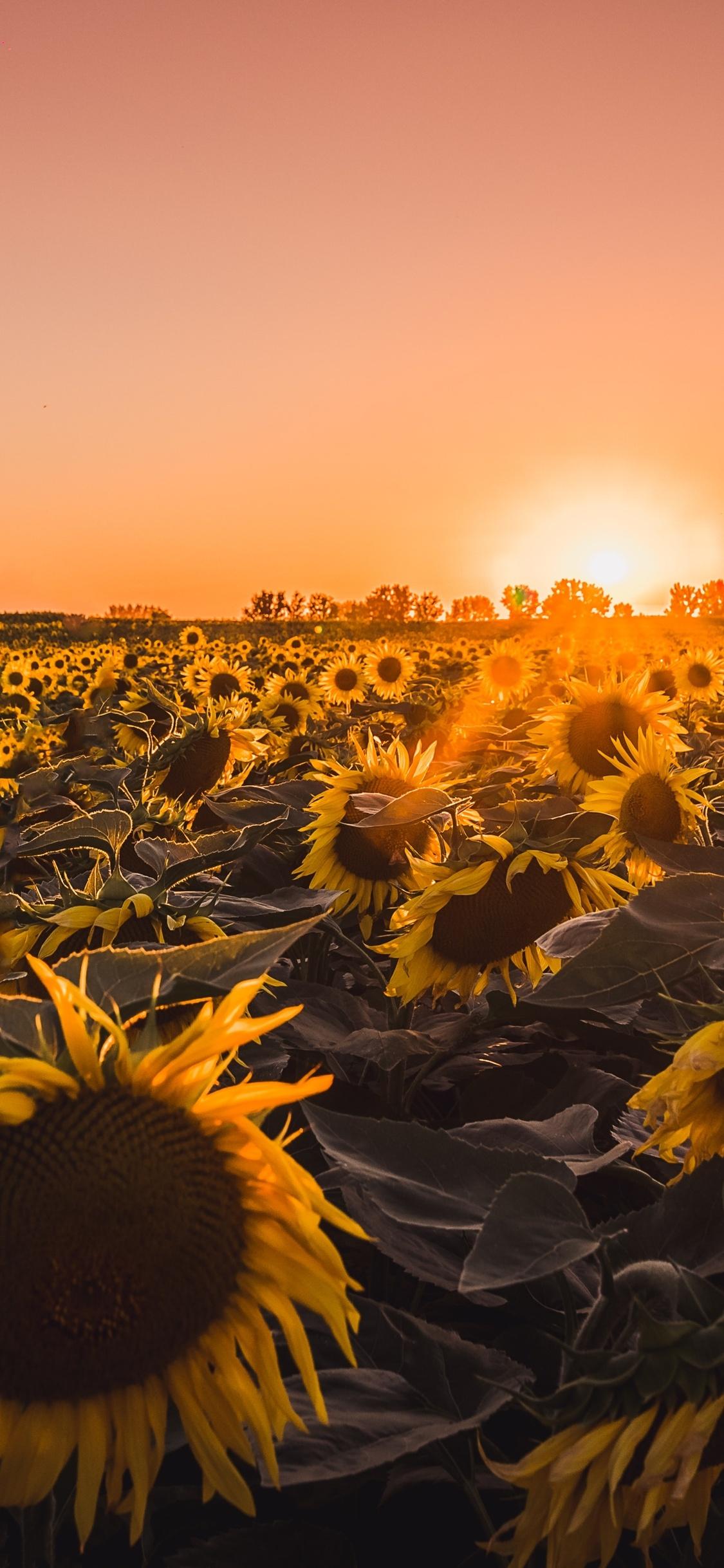 1125x2436 Sunflowers Farm Golden Hour 5k Iphone XS,Iphone 10
