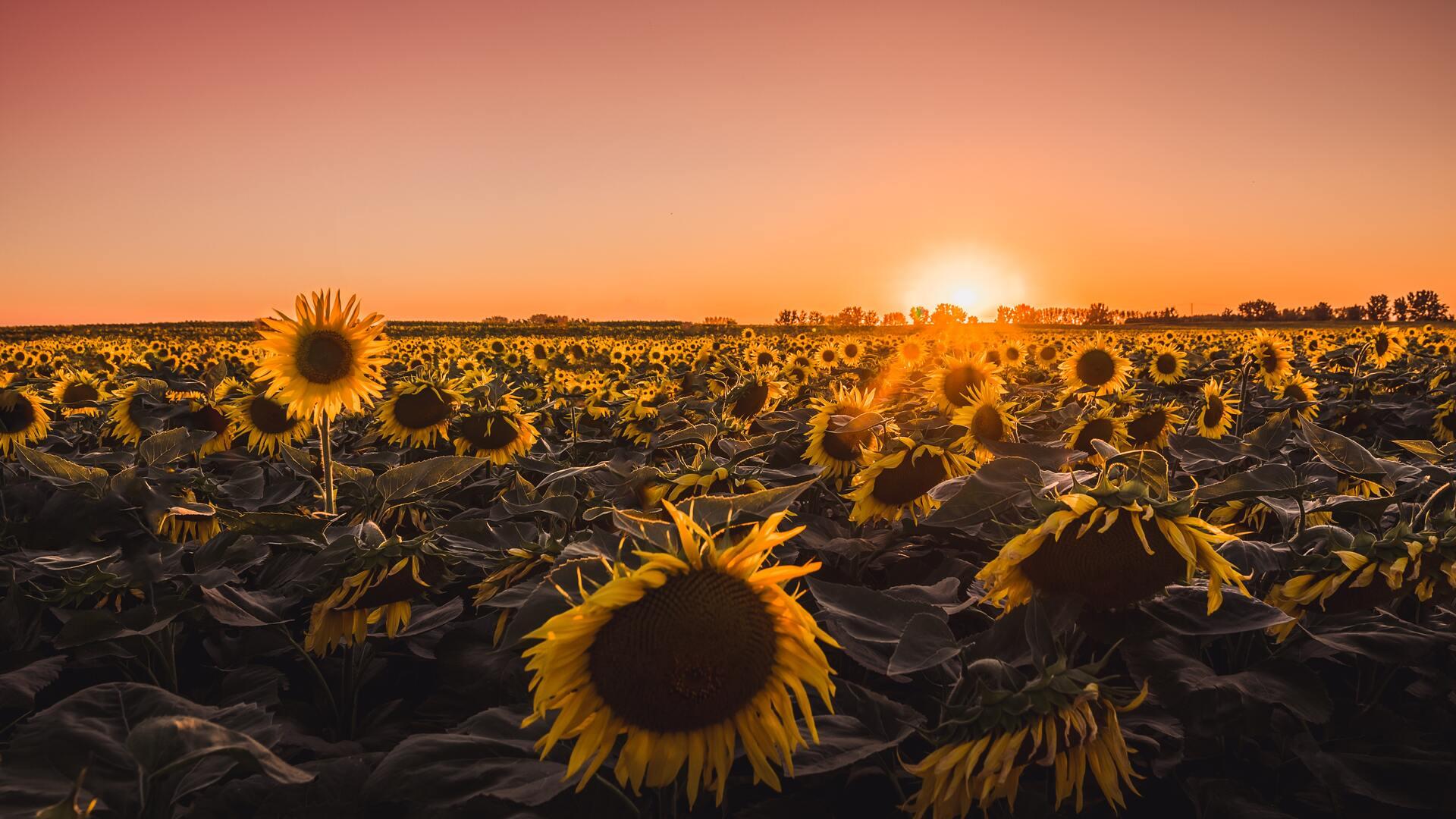 sunflowers-farm-golden-hour-5k-78.jpg