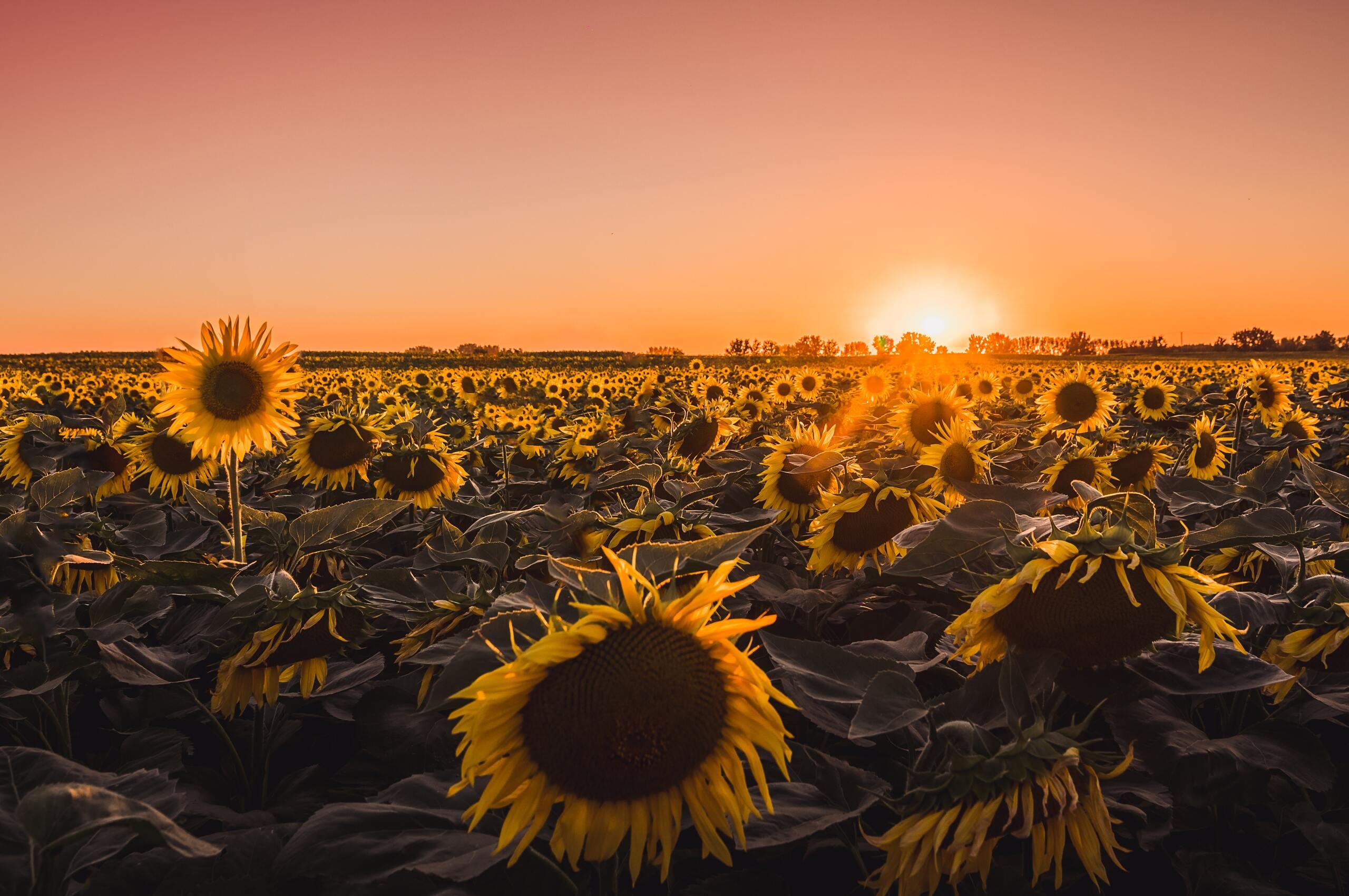 Sunflower Wallpaper Chromebook | wallpaper stan