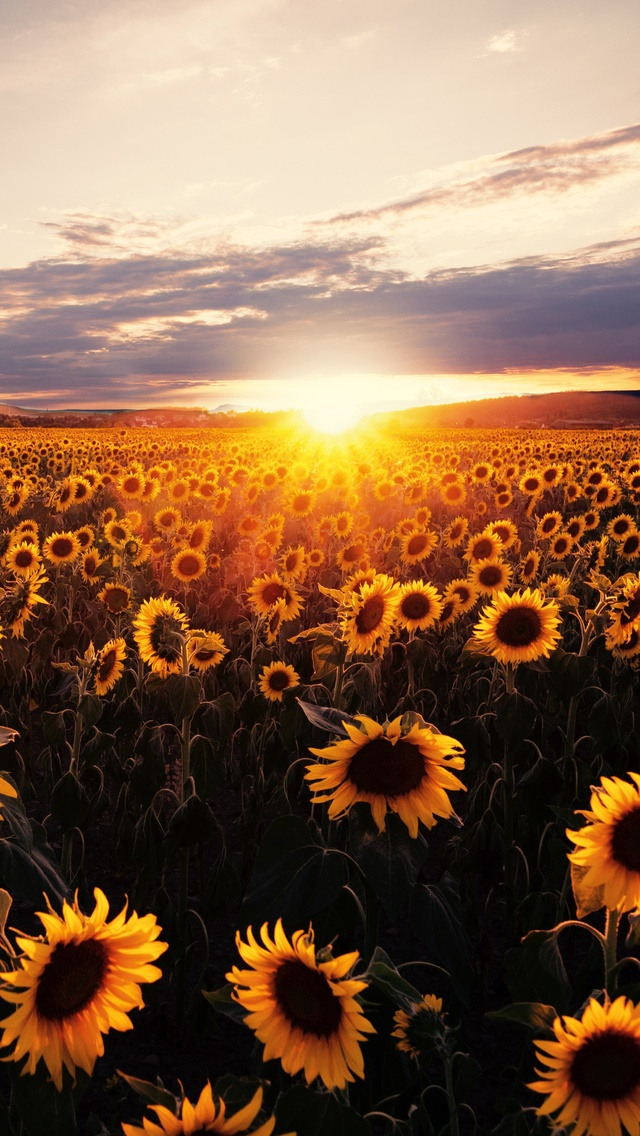sunflowers-field-sunrise-5k-lm.jpg