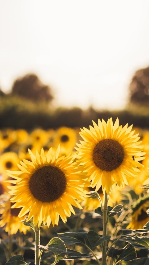 sunflowers-q8.jpg
