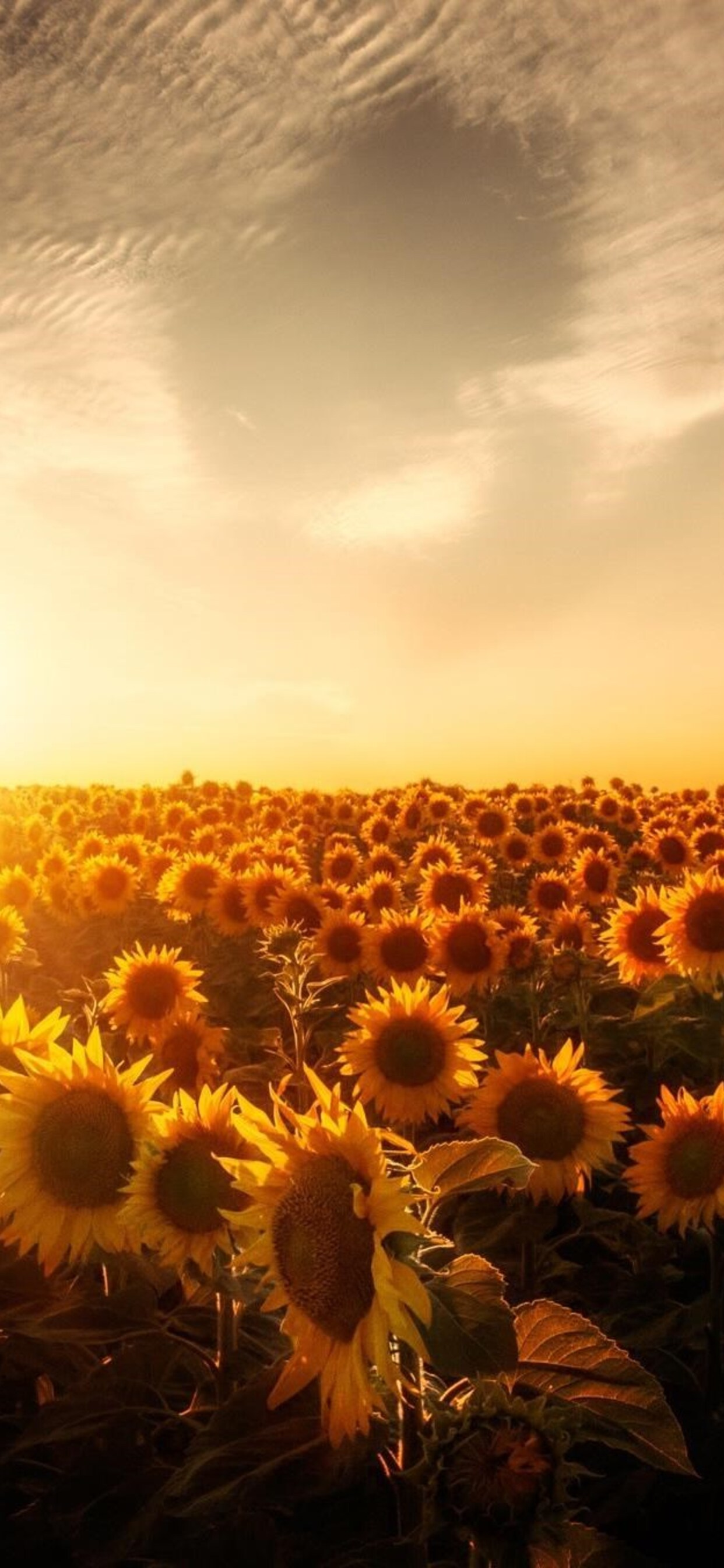 1242x2688 Sunflowers Sunset Iphone Xs Max Hd 4k Wallpapers Images