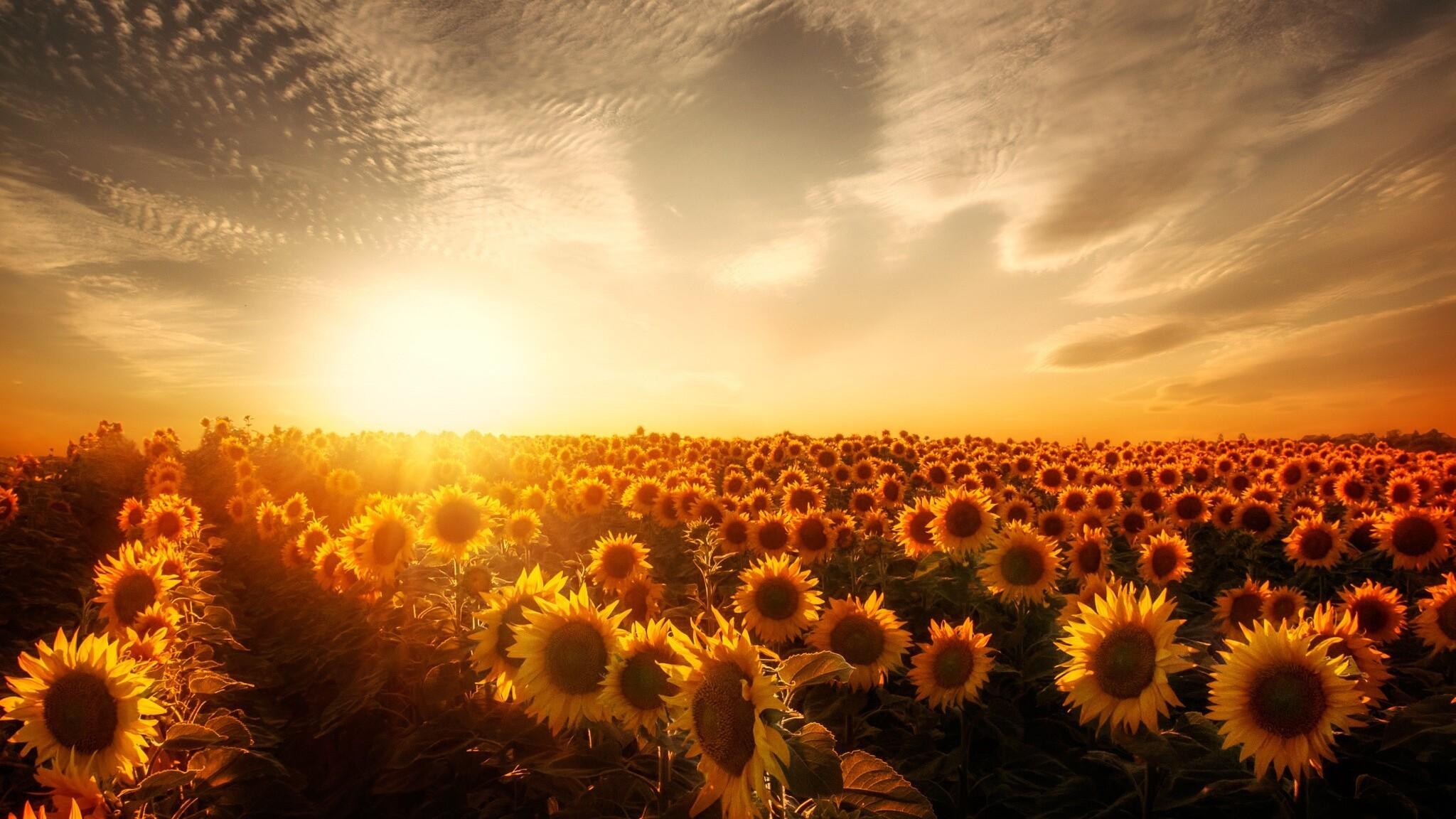 2048x1152 Sunflowers Sunset 2048x1152 Resolution HD 4k ...