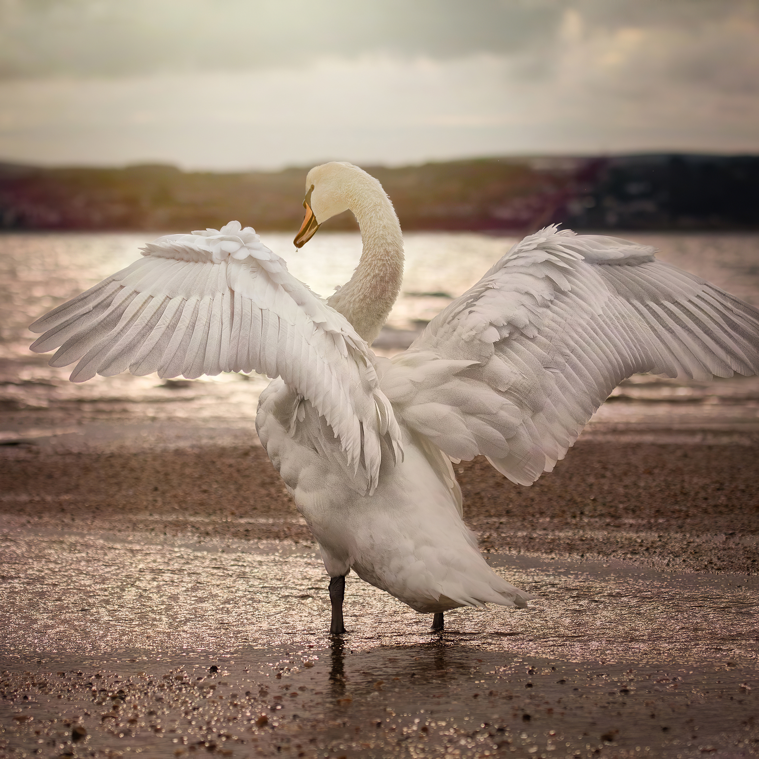 swan-opening-wings-4k-kw.jpg