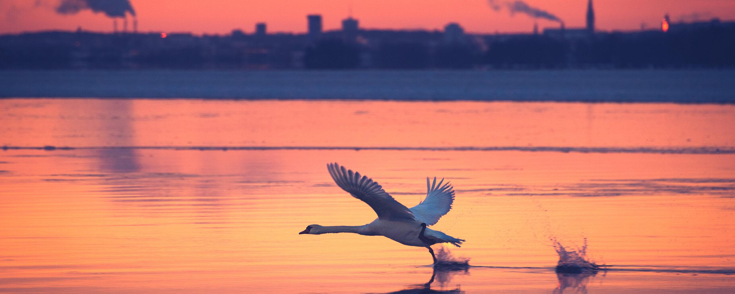 swan-take-off-yv.jpg