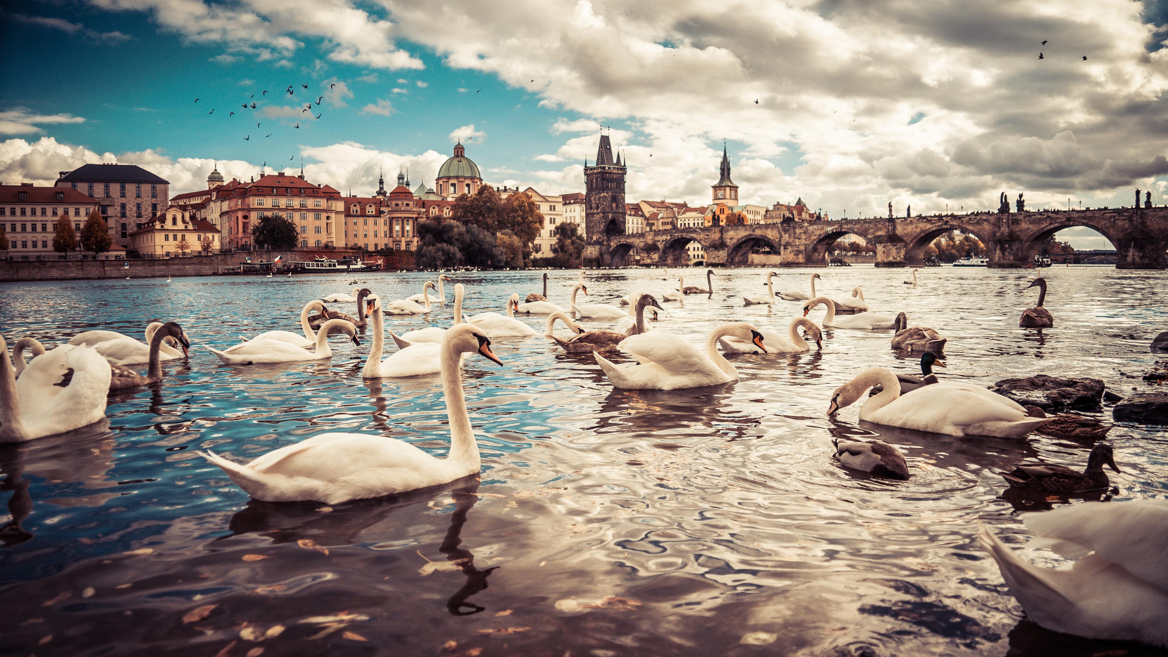 swans-moldau-river-czech-republic-5k-u6.jpg