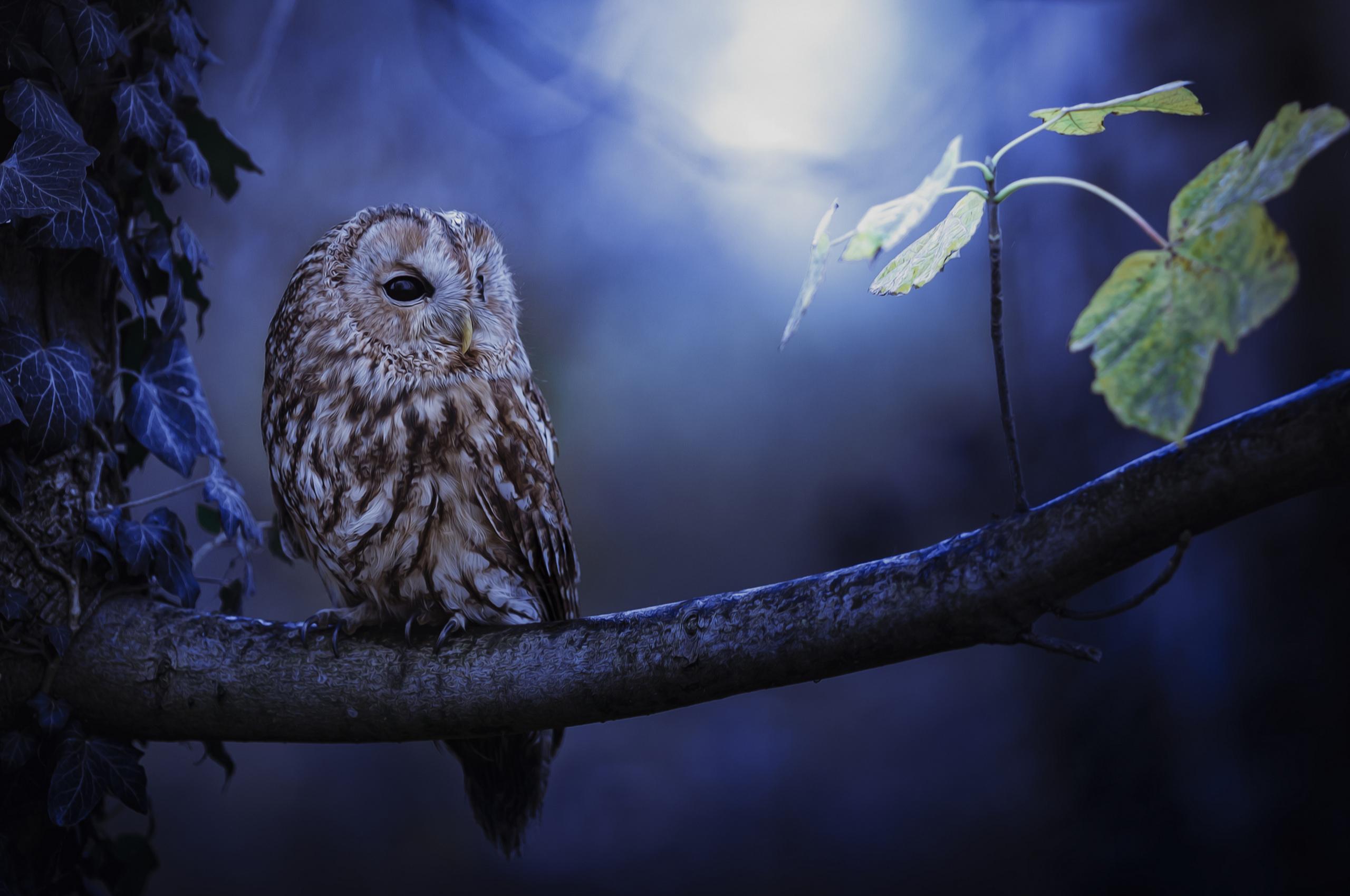 2560x1700 Tawny Owl In Moonlight Chromebook Pixel HD 4k Wallpapers