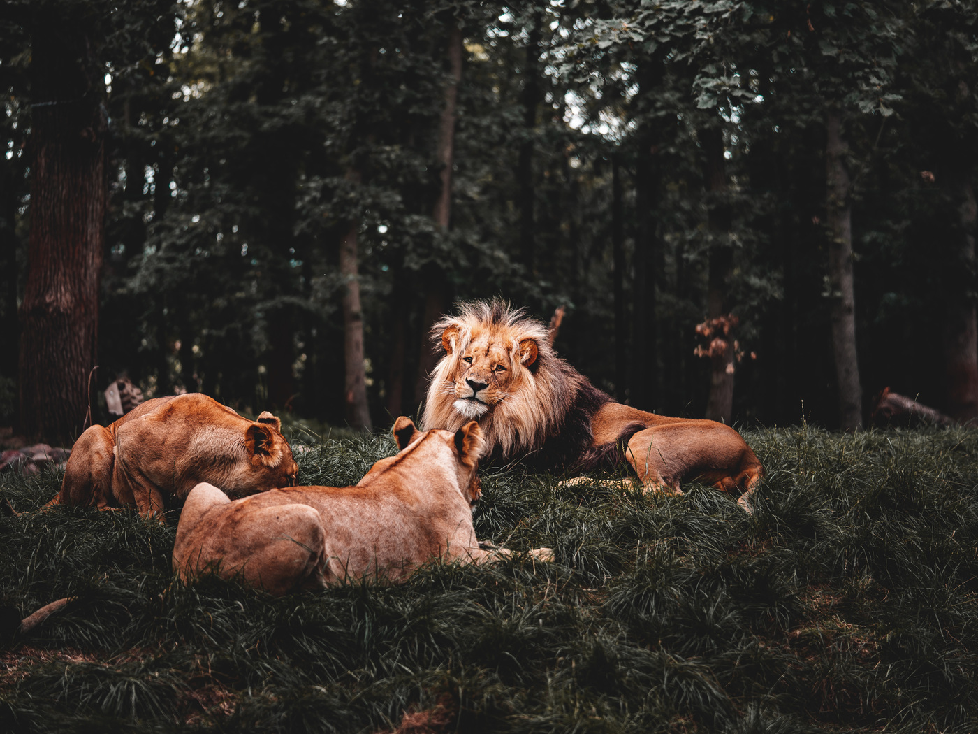 three-lions-lying-down-5k-cw.jpg