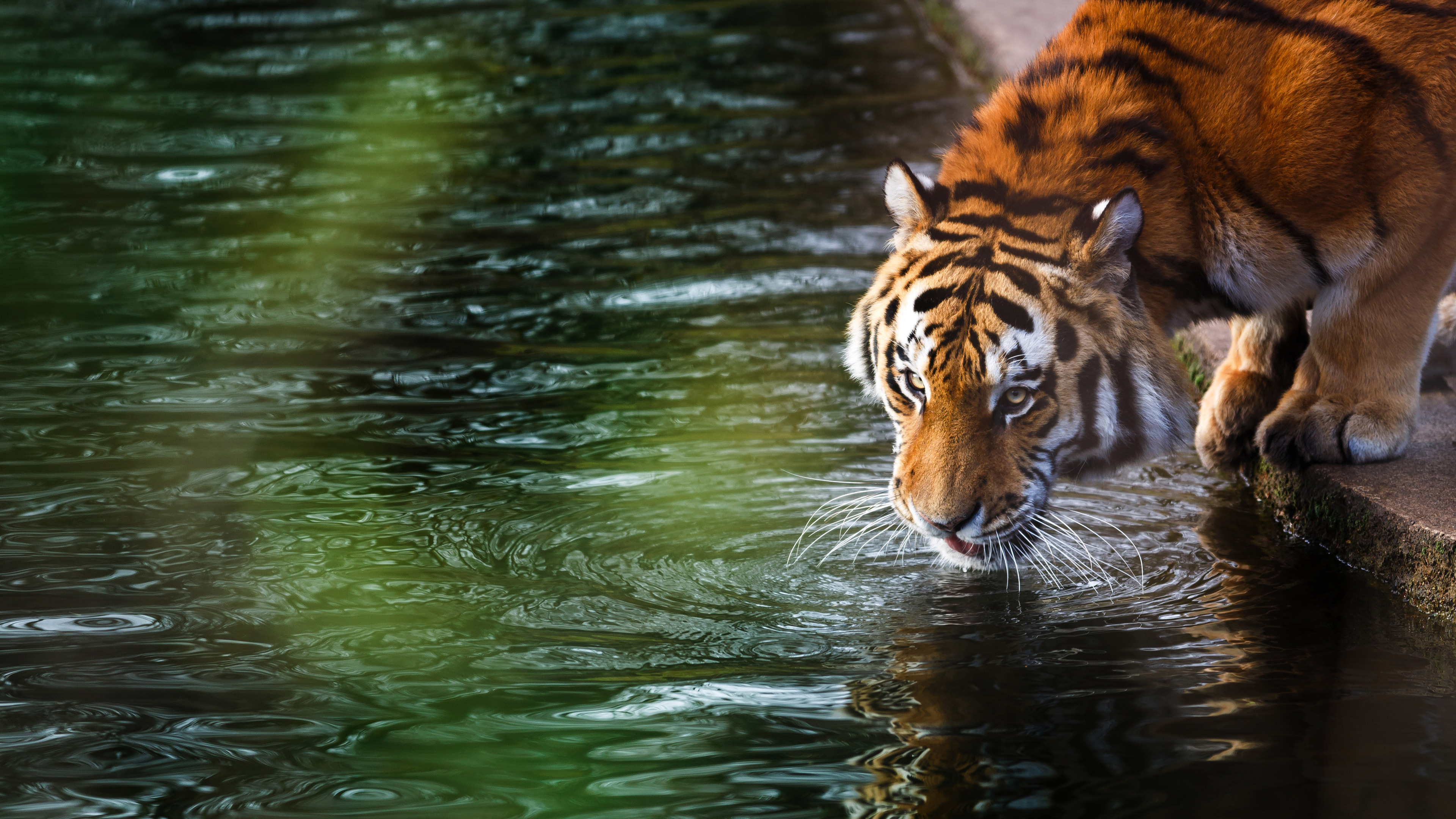 3840x2160 tiger 4k 4k hd 4k wallpapers images - Best animal wallpaper download ...