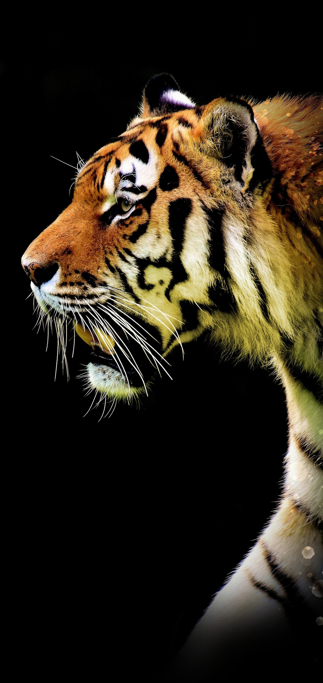 tiger-abstract-5k-wp.jpg