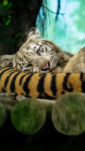 tiger-amazing-photography-on.jpg