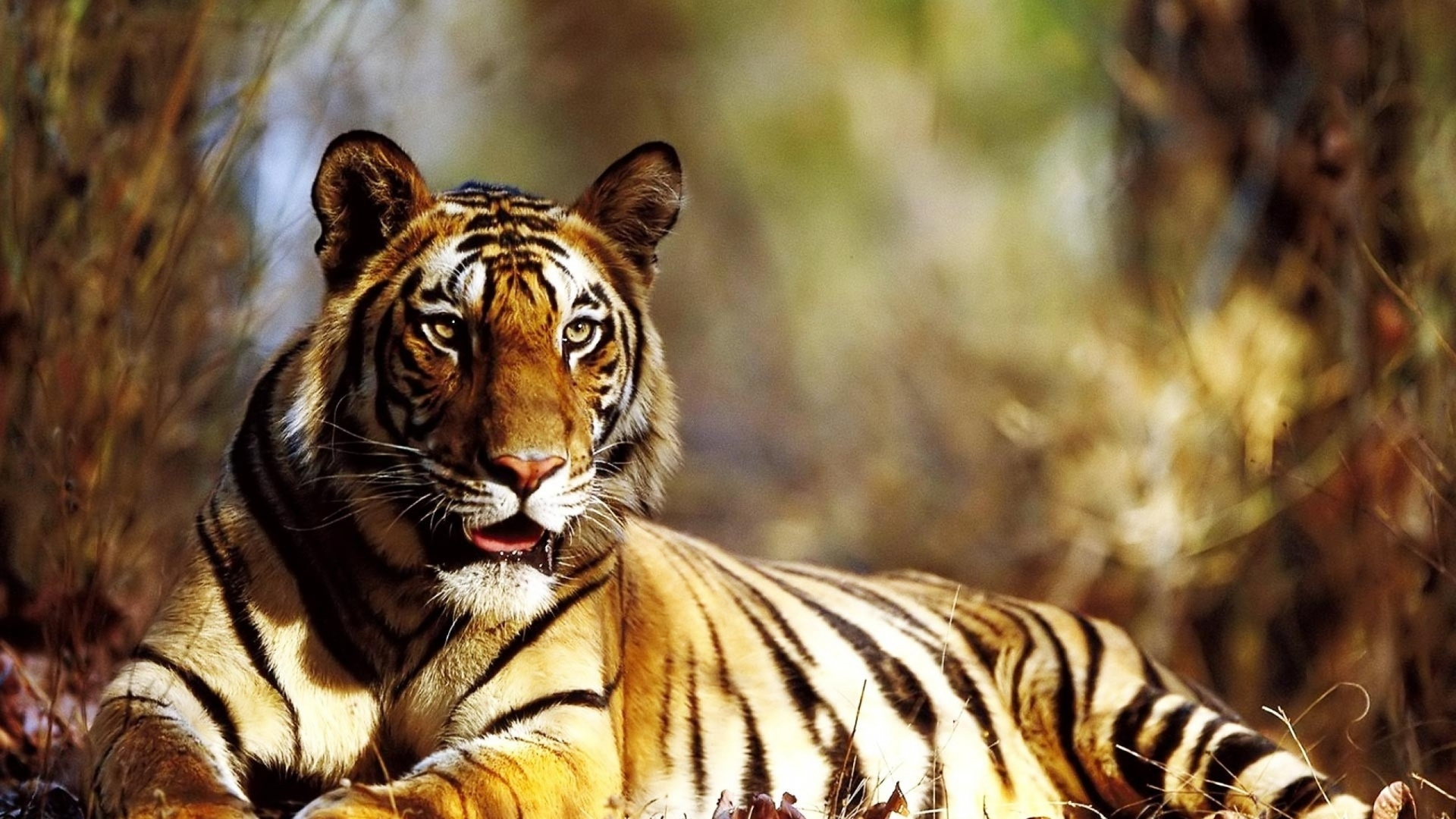tiger-autumn.jpg