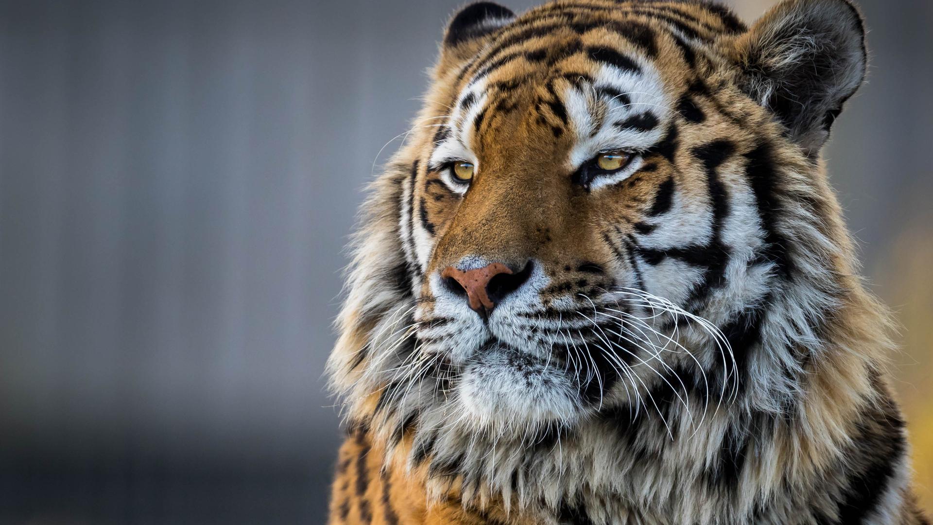 tiger-closeup-4k-v7.jpg