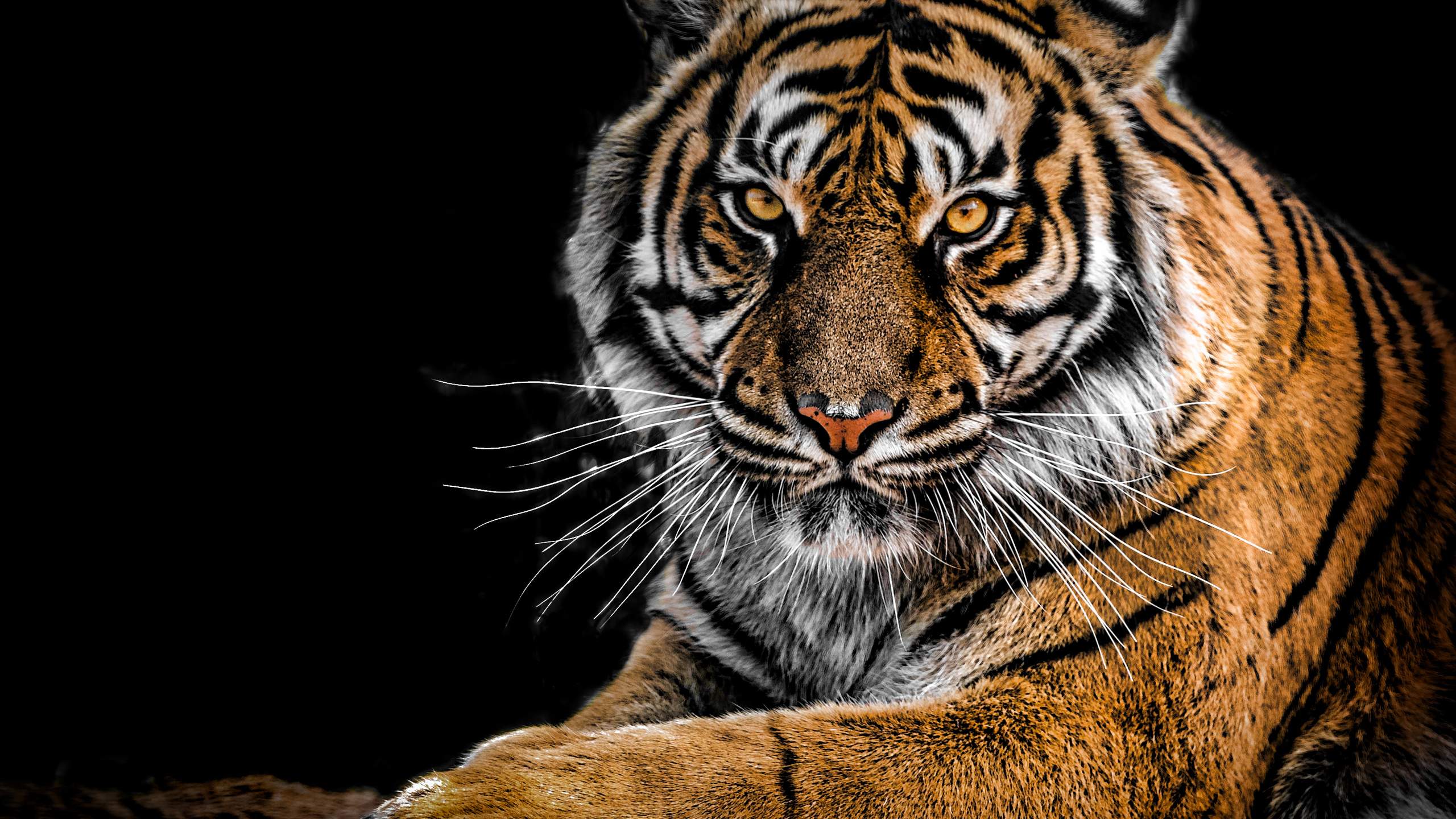 2560x1440 Tiger Closeup 1440P Resolution HD 4k Wallpapers