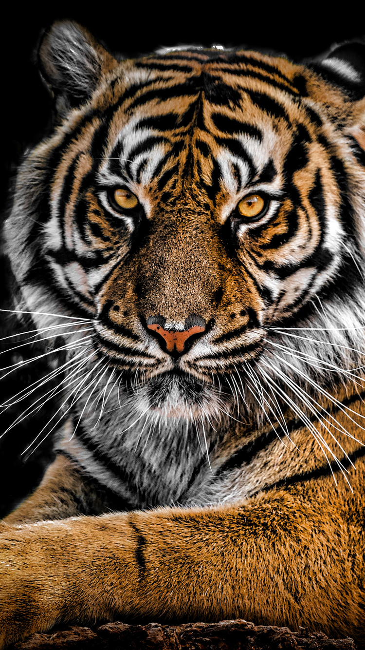 750x1334 Tiger Closeup Iphone 6 Iphone 6s Iphone 7 Hd 4k