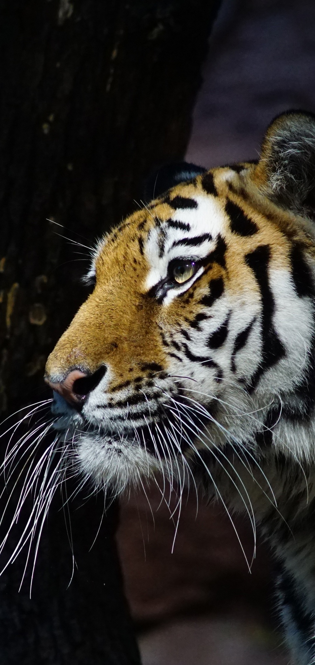 tiger-glance-4k-x4.jpg