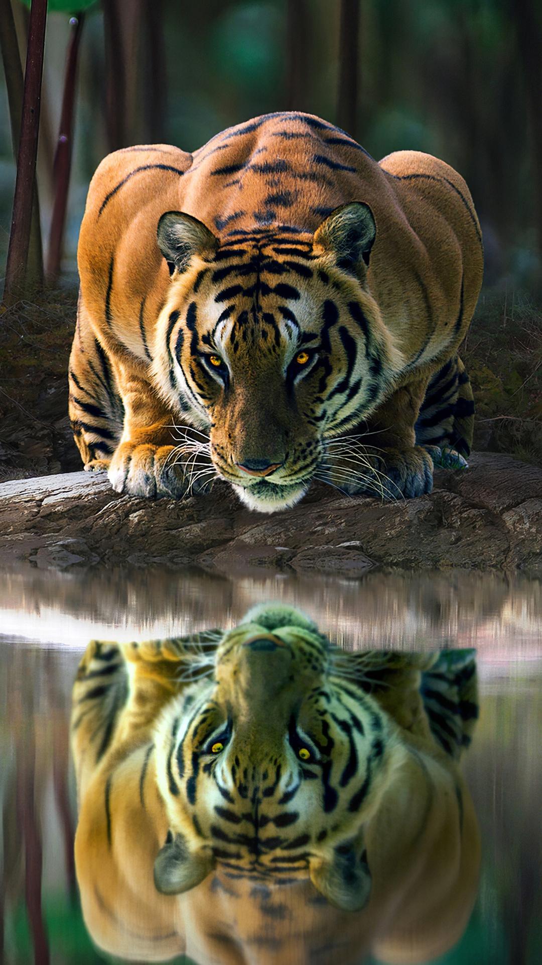 tiger-glowing-eyes-drinking-water-4k-hf.jpg