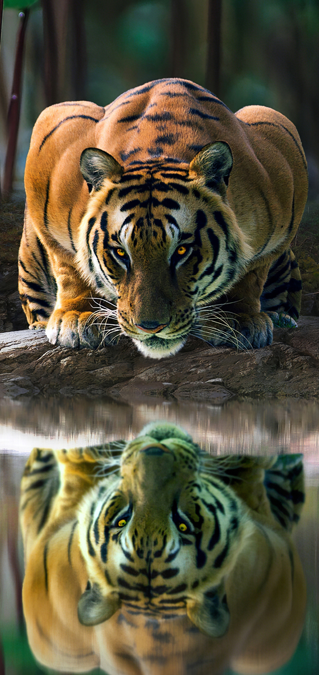 tiger-glowing-eyes-drinking-water-4k-hf.jpg