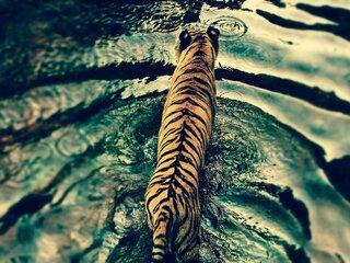 tiger-in-disneys-animal-kingdom.jpg
