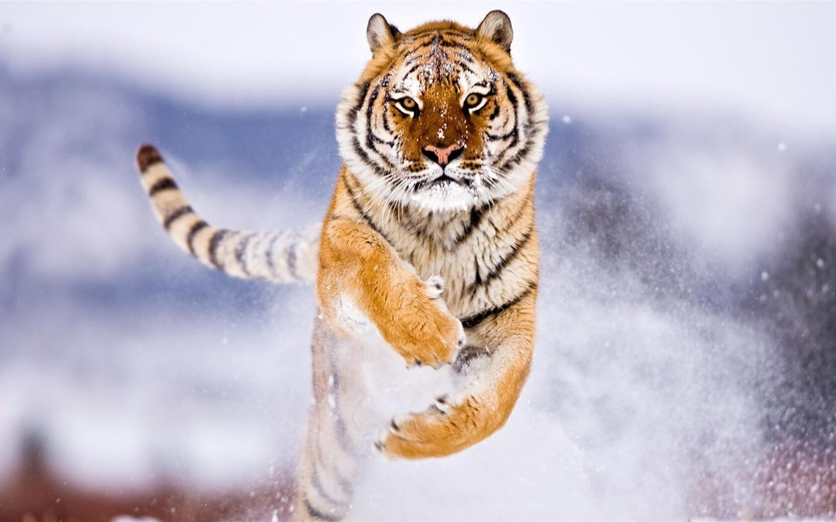 tiger-in-snow-image.jpg