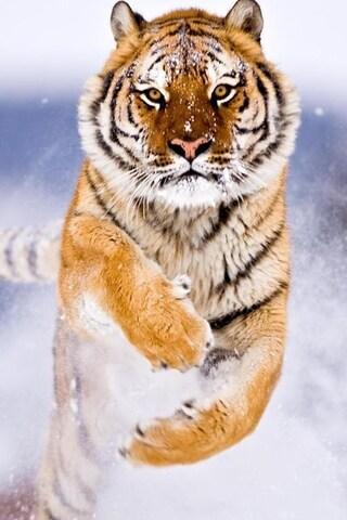 tiger-in-snow-image.jpg