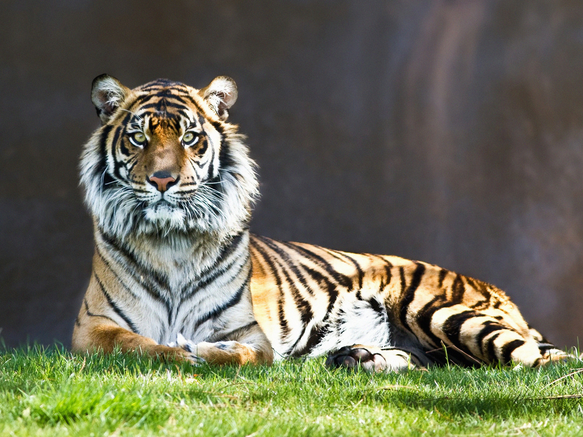 tiger-look-4k-ep.jpg