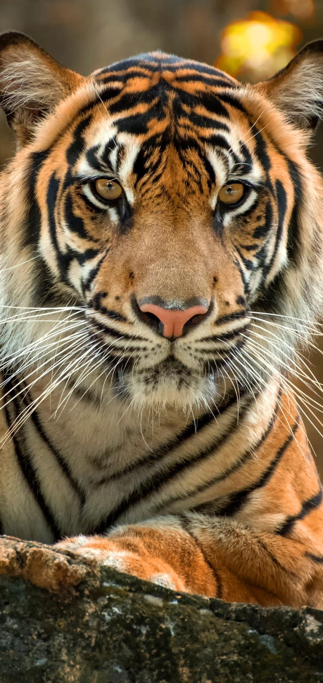 tiger-paws-4k-xa.jpg