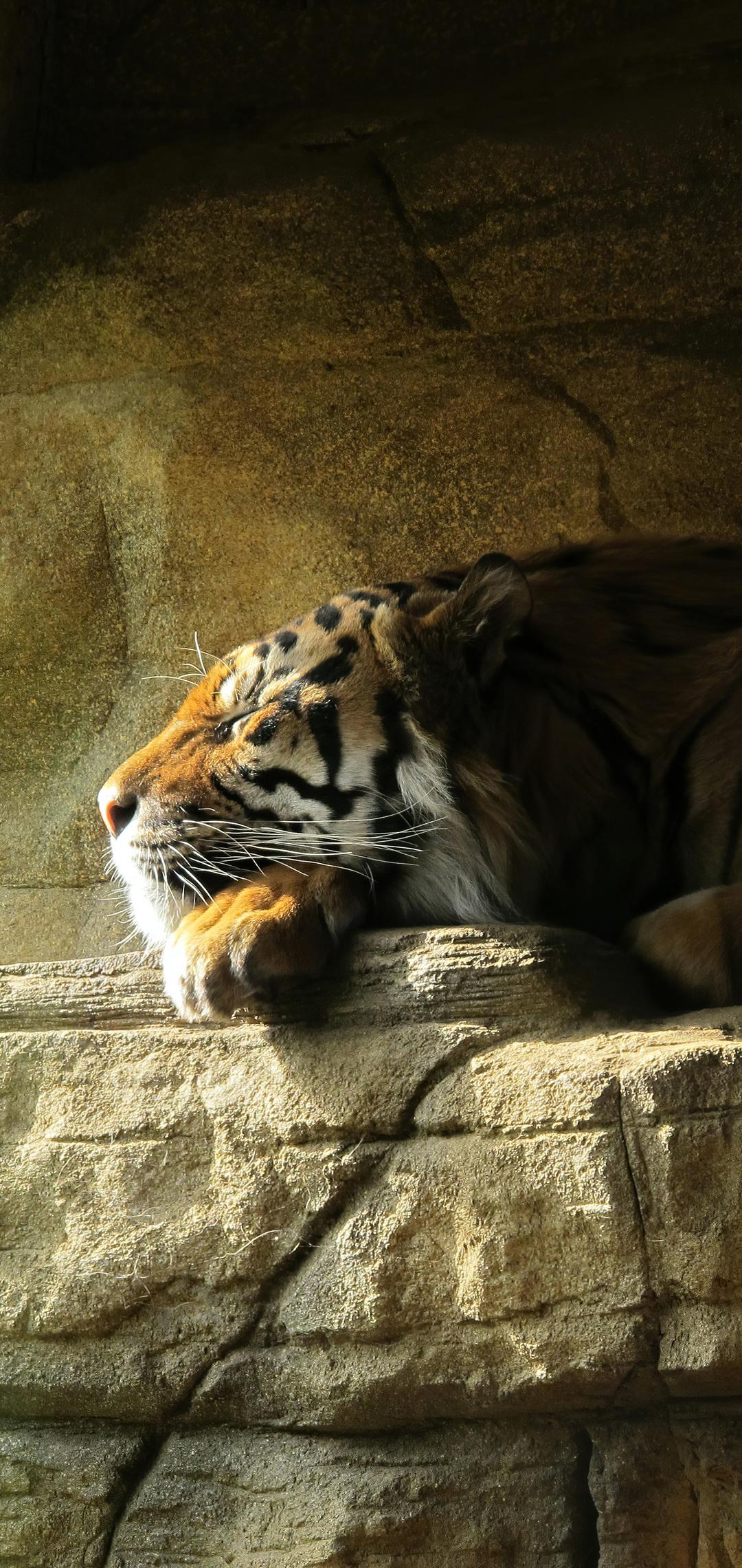 tiger-sleeping-closed-eyes-5k-1r.jpg
